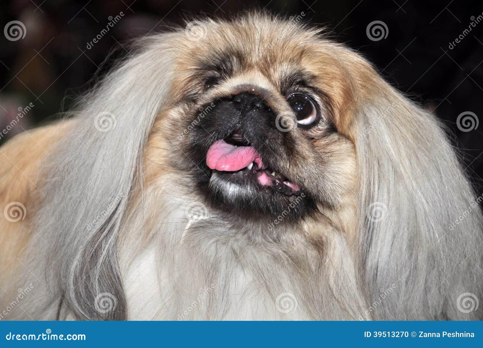 Dog Breed Pekingese Tongue