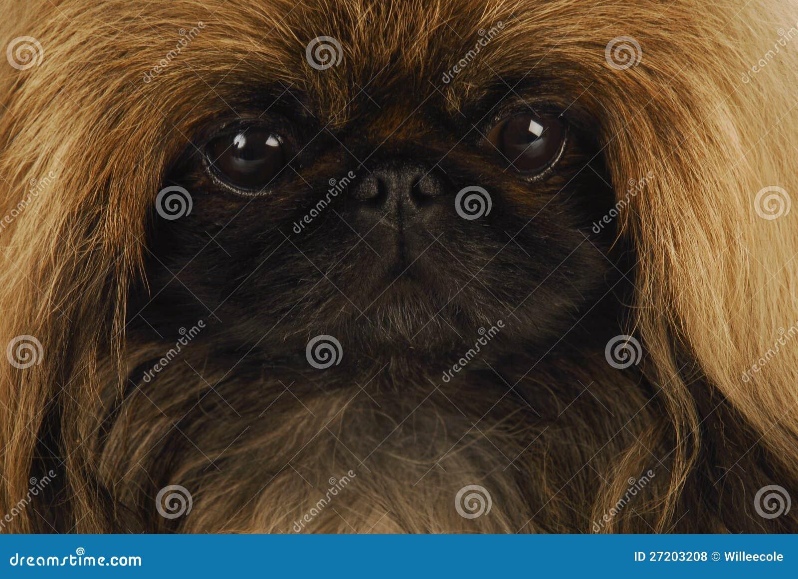 Pekingese face
