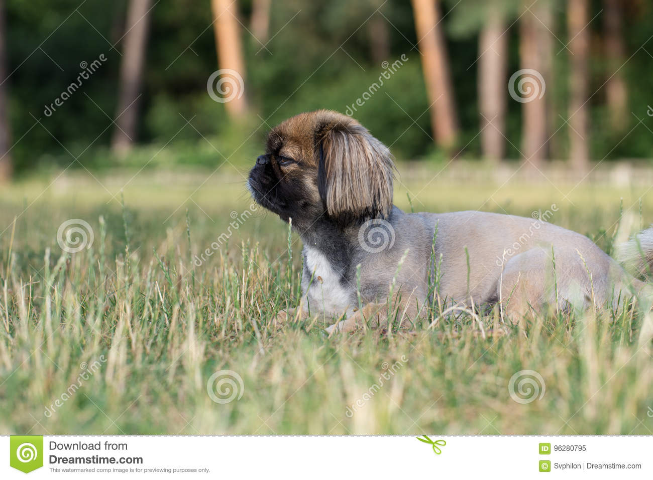Pekingese After A Haircut In The Salon For Dogs Stock Image Image