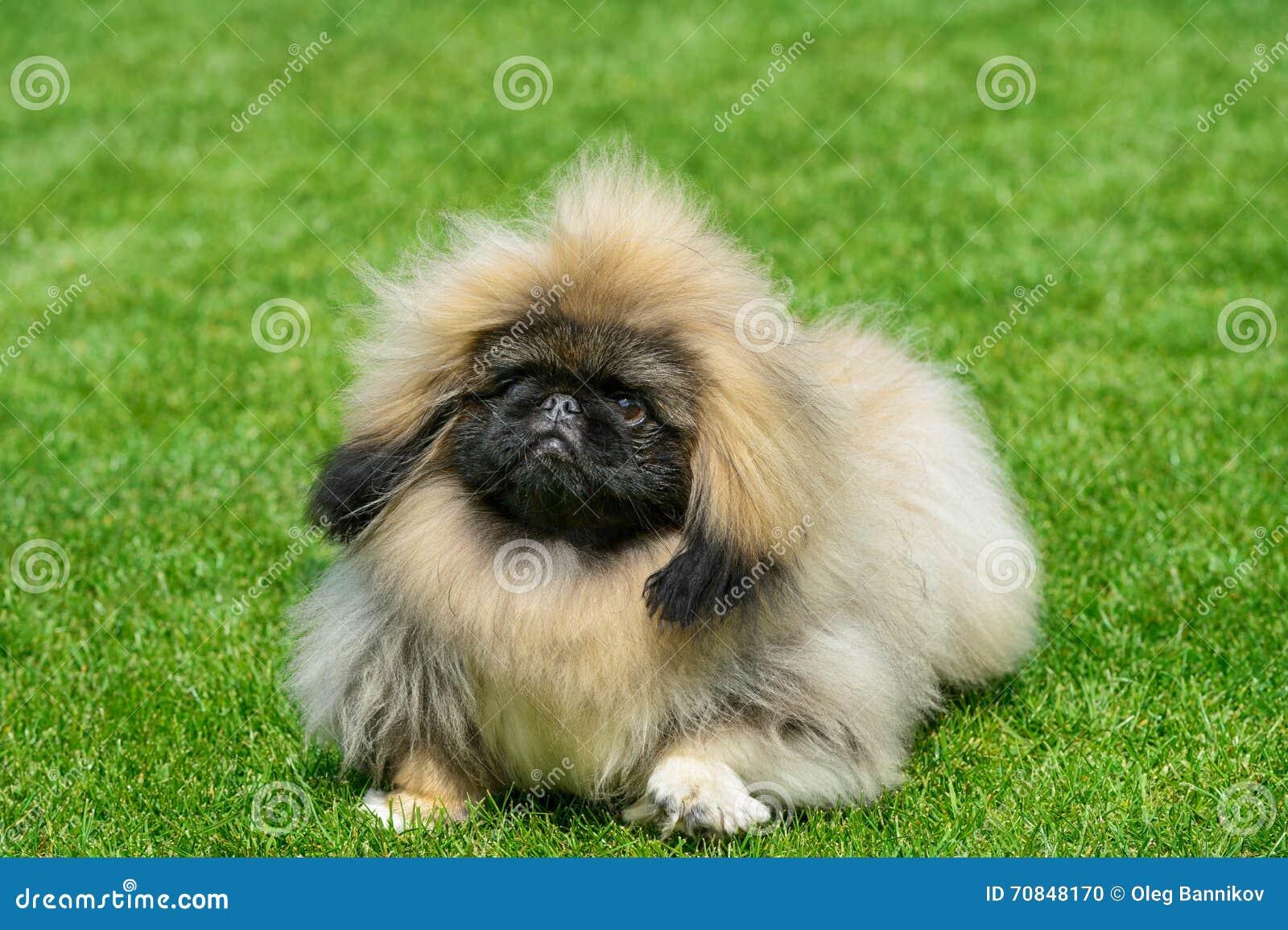 Pekingese psa pozycja na zieleni polu