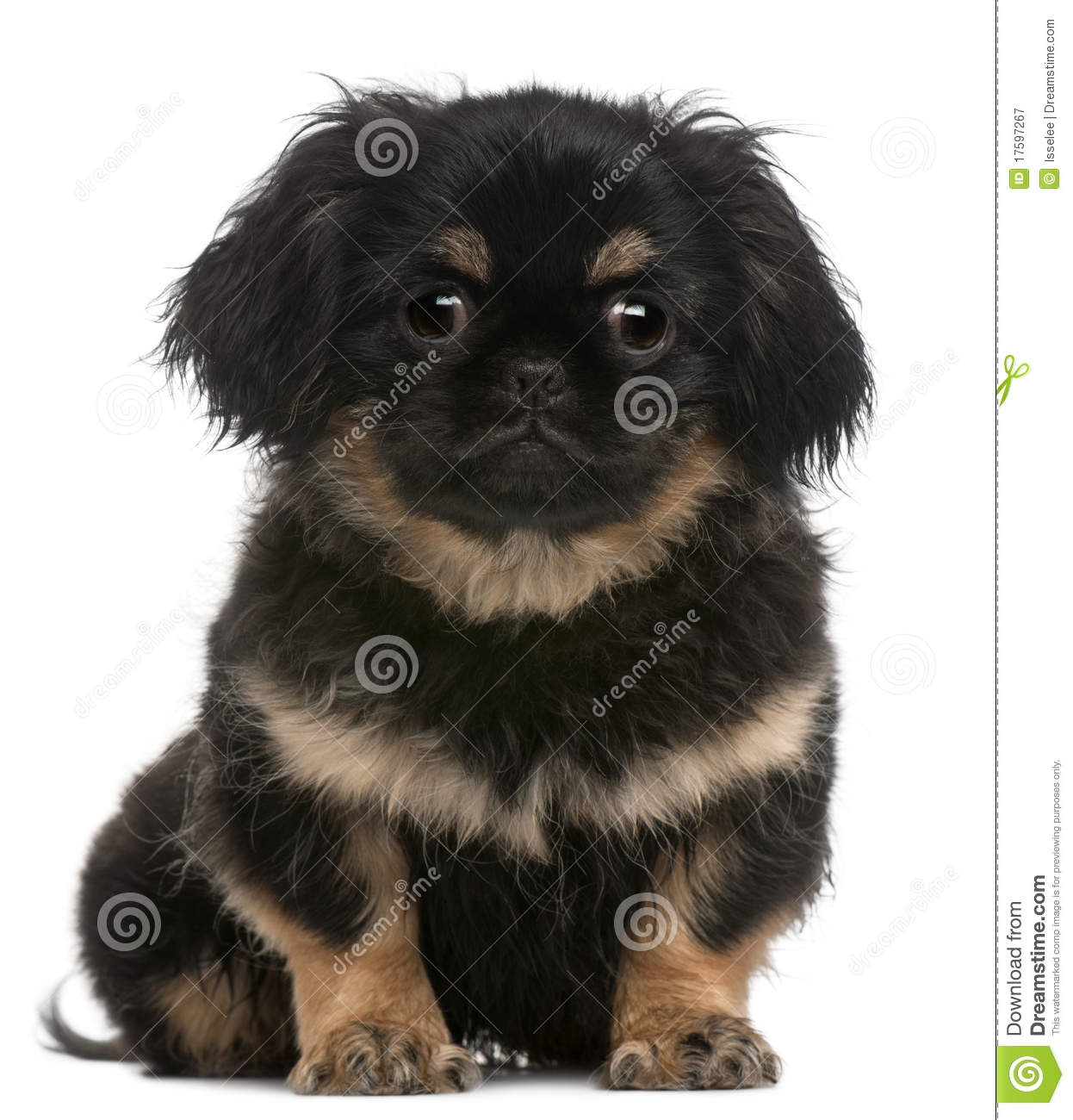 Pekingese puppy, 4 months old, sitting