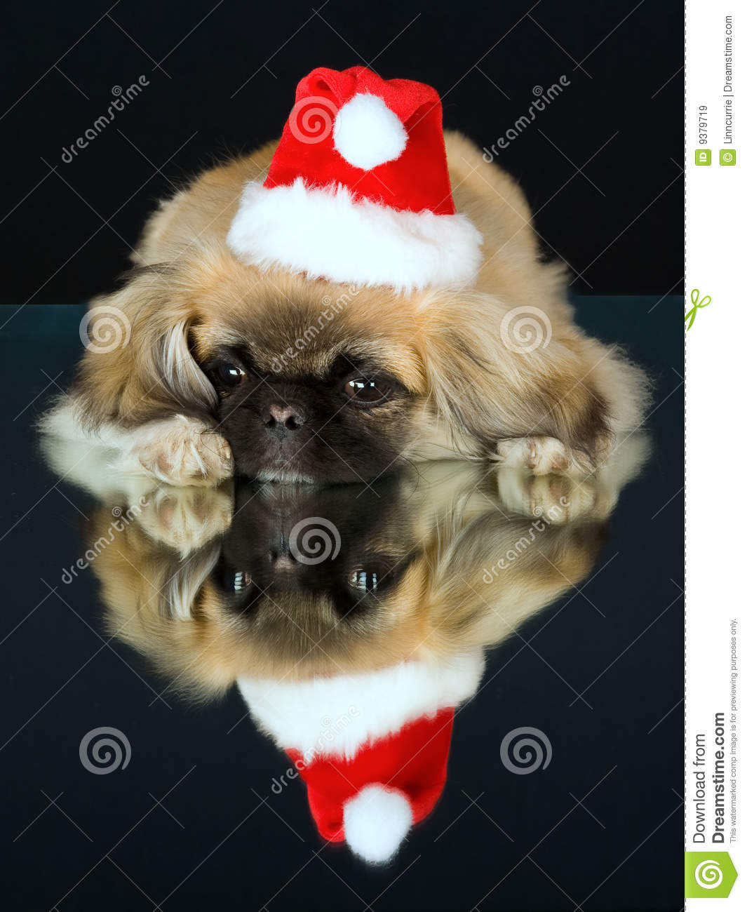 0f2ef493863dd Cute Pekingese puppy lying down on mirror wearing Santa hat with reflection  on black background