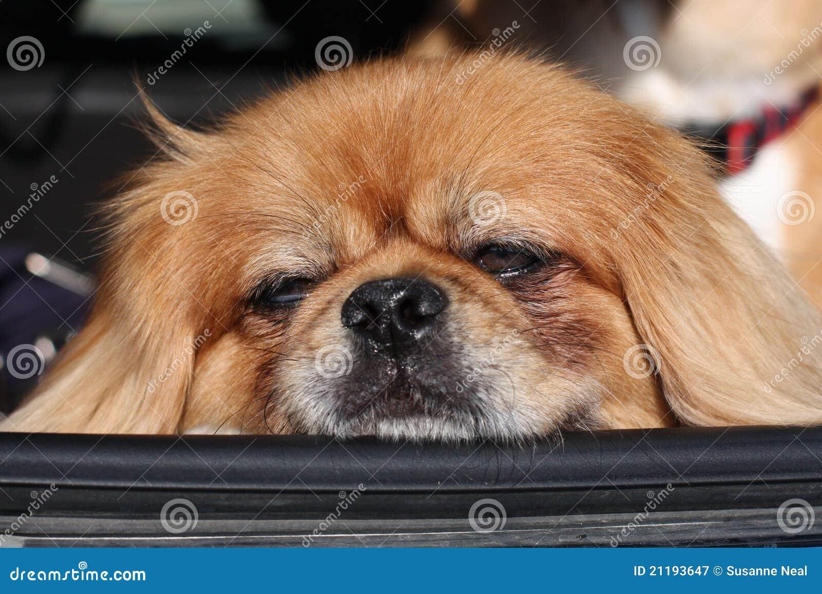 Pekingese resting head on car window