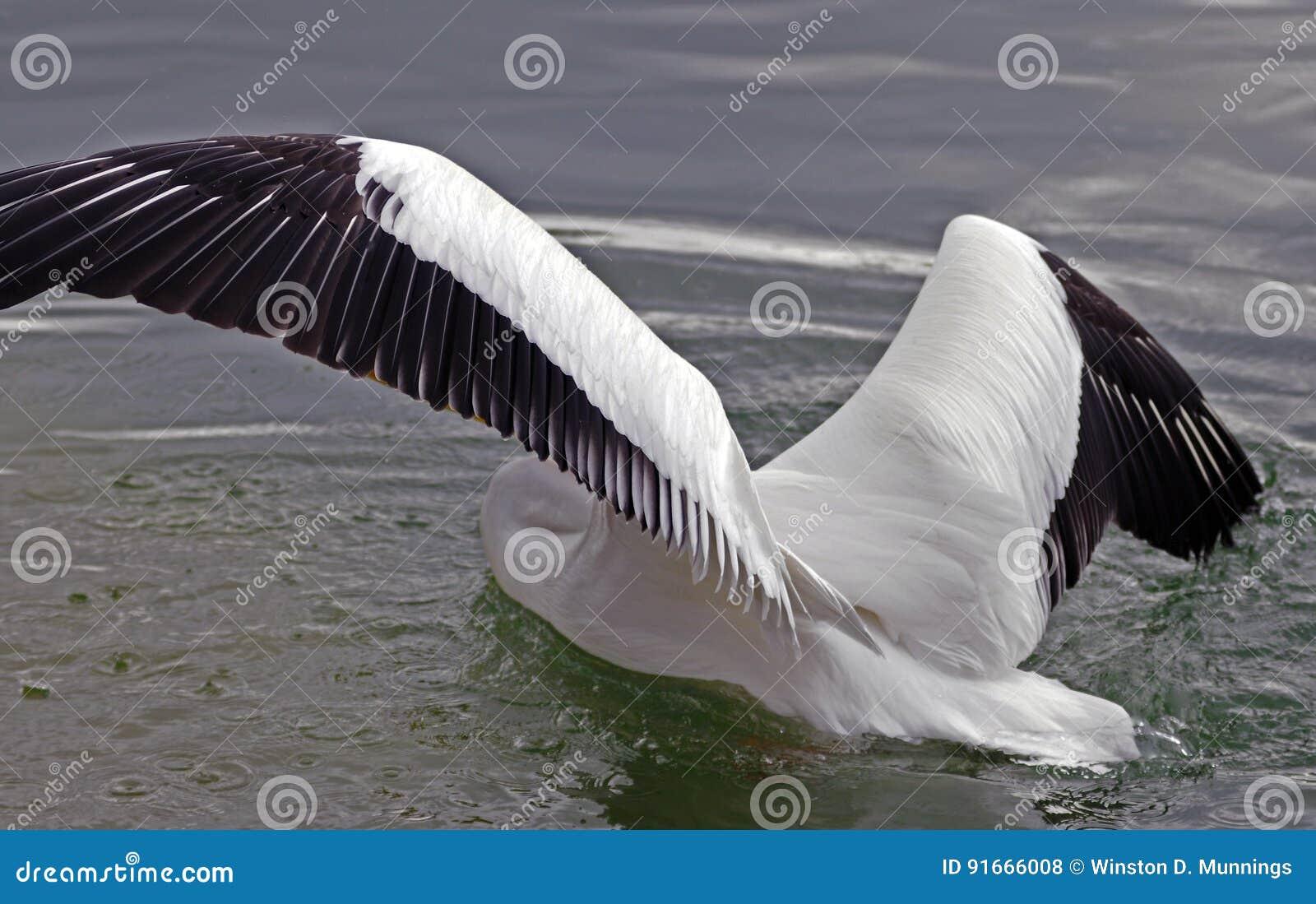 Pelícano blanco americano