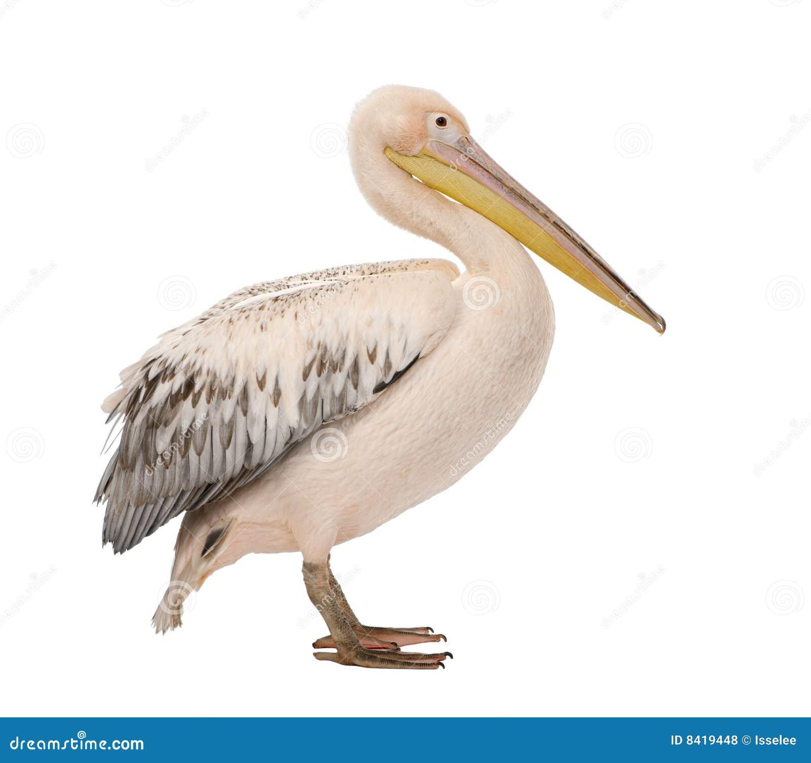 Pel cano blanco onocrotalus del pelecanus 18 meses - Fotos de pelicanos ...