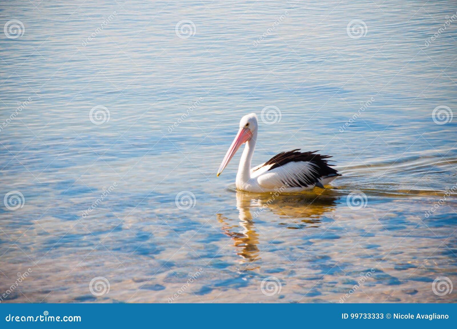 Pelícano de la natación