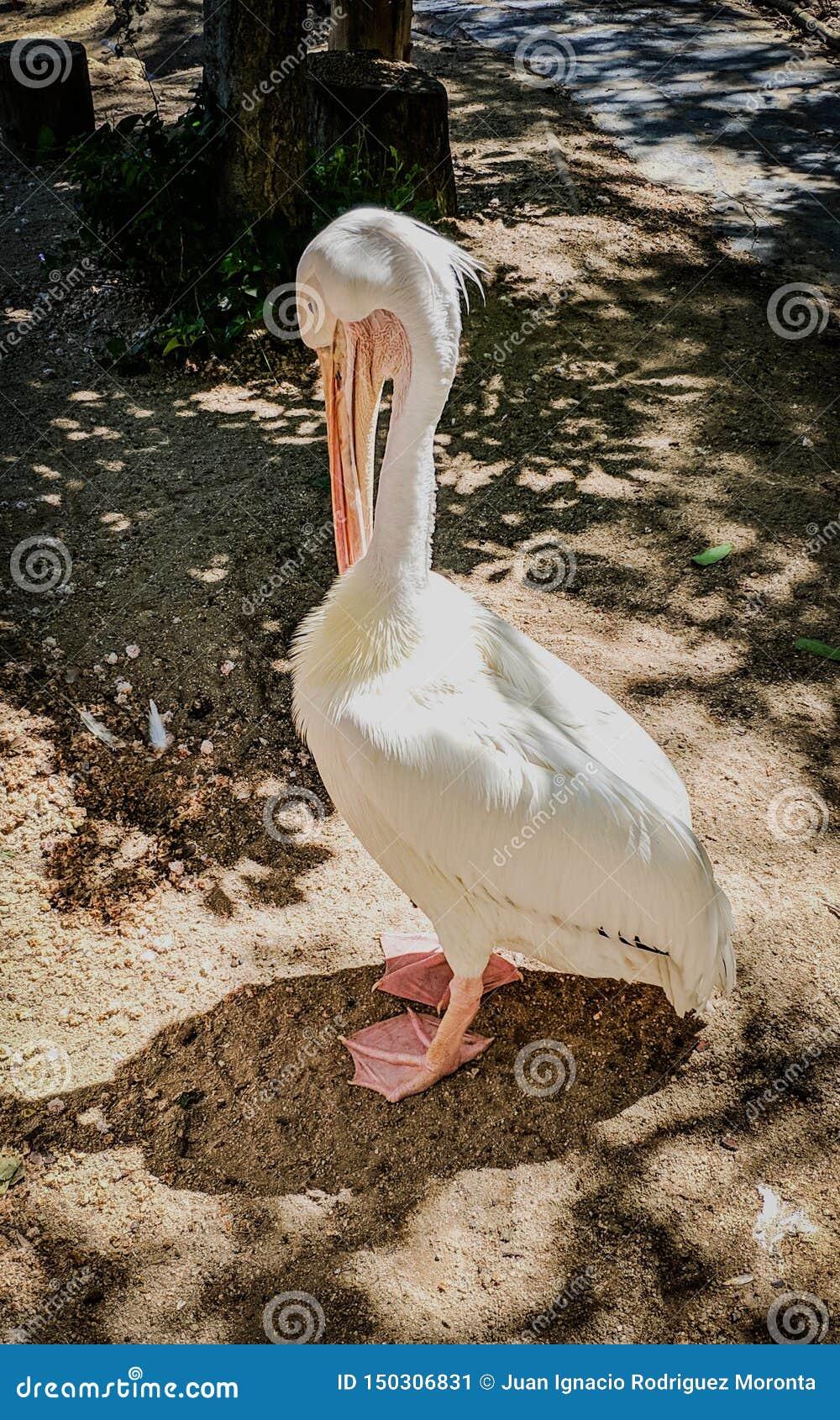 Pelícano emplumado blanco que rasguña su pico