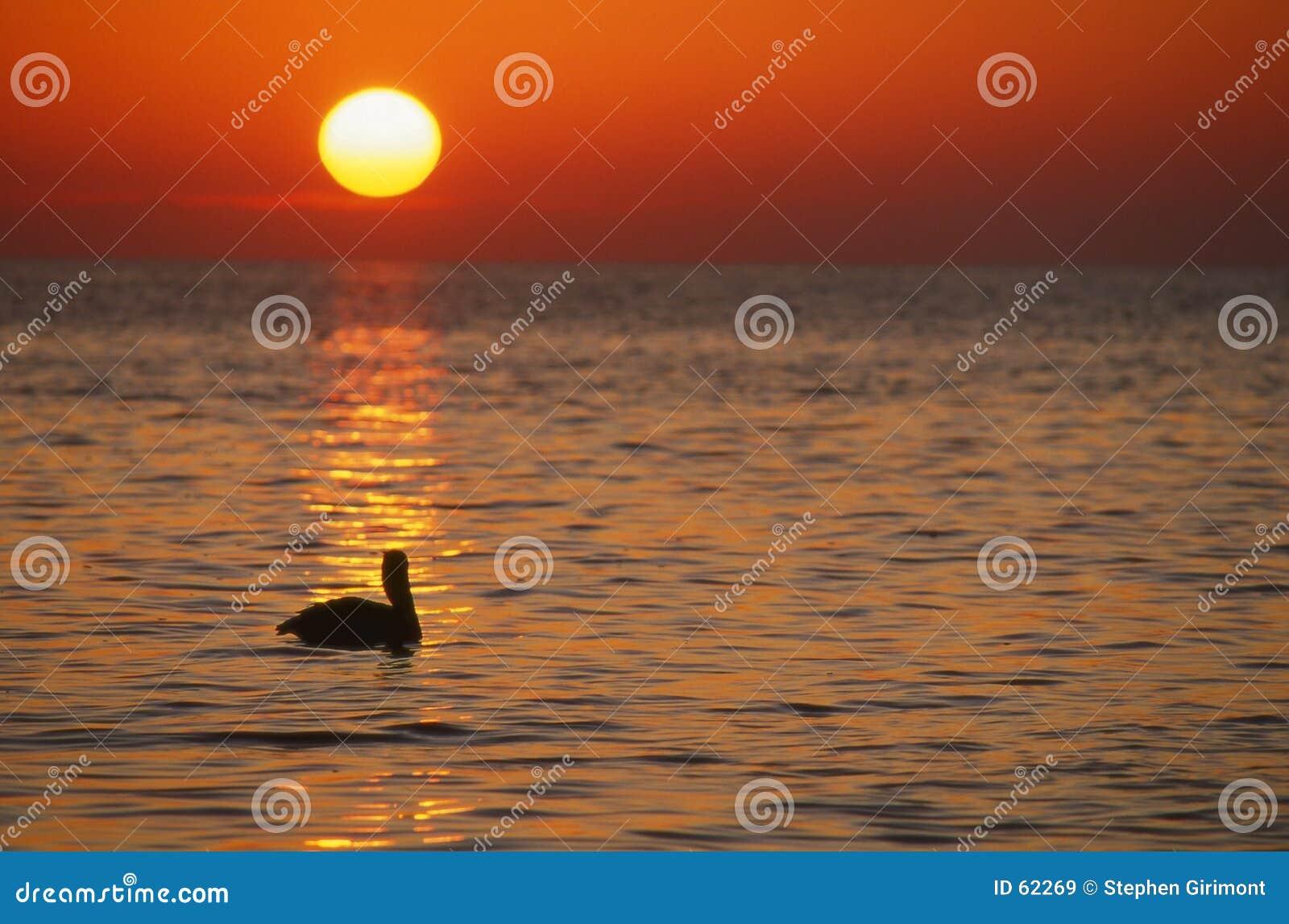 Pelícano en la salida del sol, claves de la Florida, horizontales