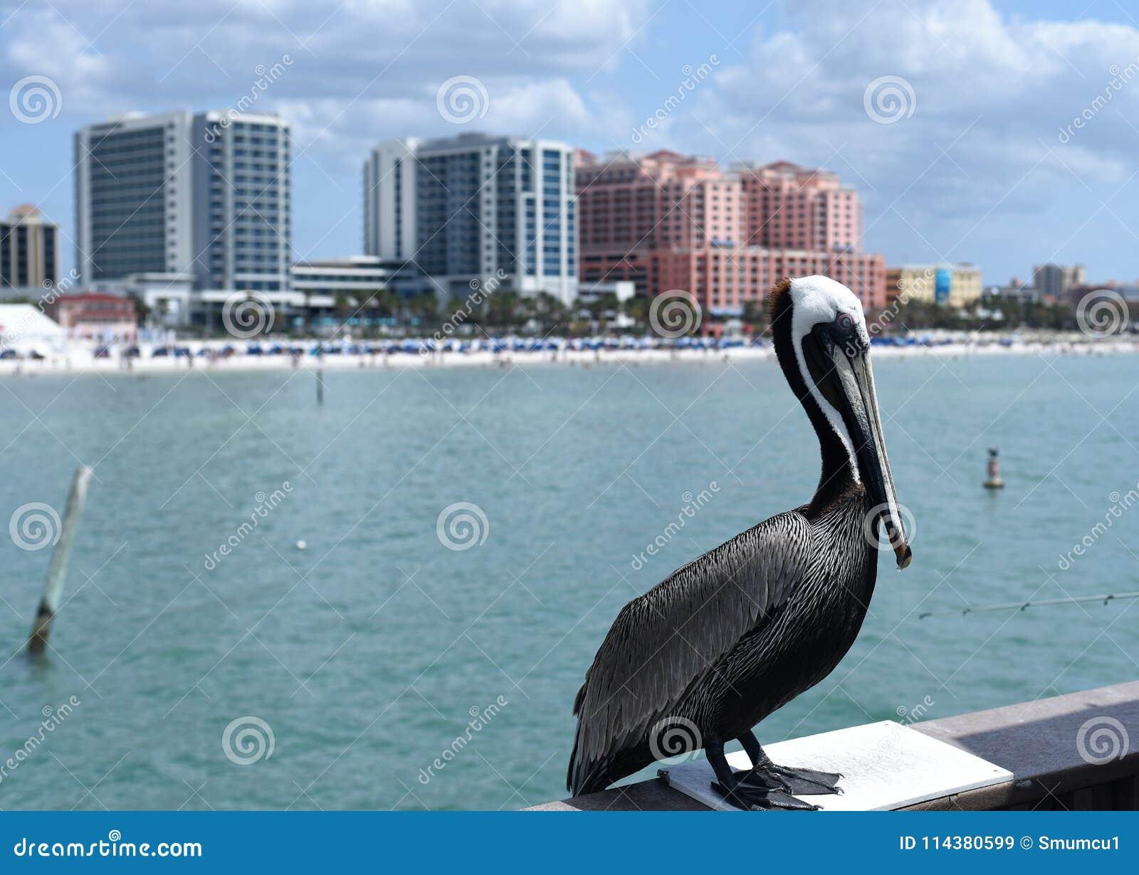 Pelícano que se coloca delante de edificios altos en la playa de Clearwater