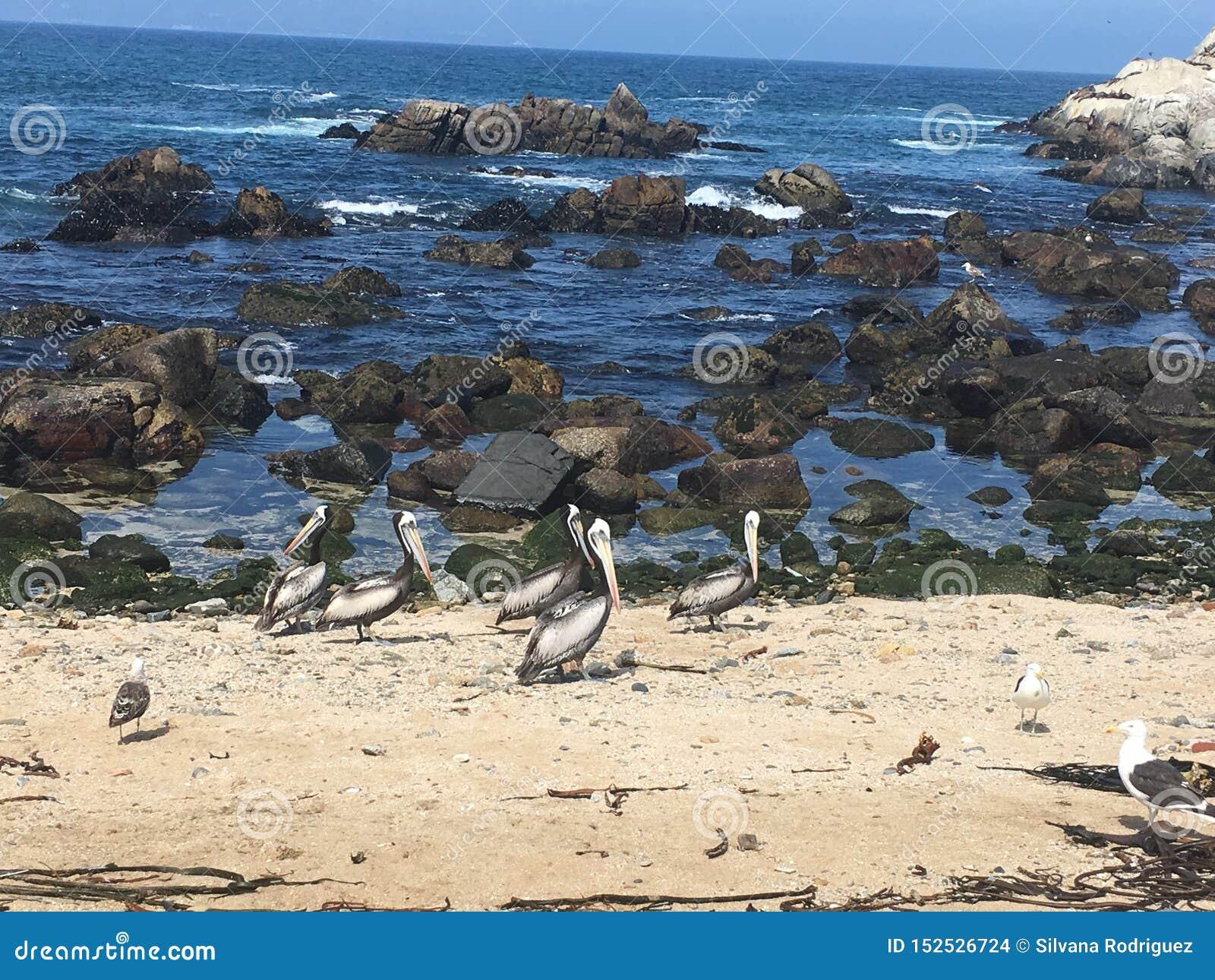 Pelícano valparaiso