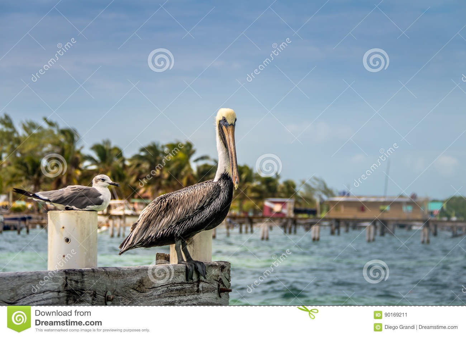 Pelícano y gaviota de risa joven que se colocan en un embarcadero - calafate de Caye, Belice