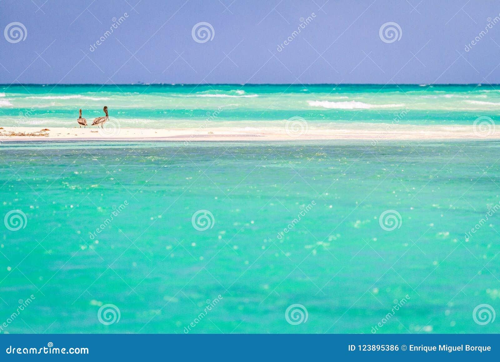Pelícanos en la playa de México