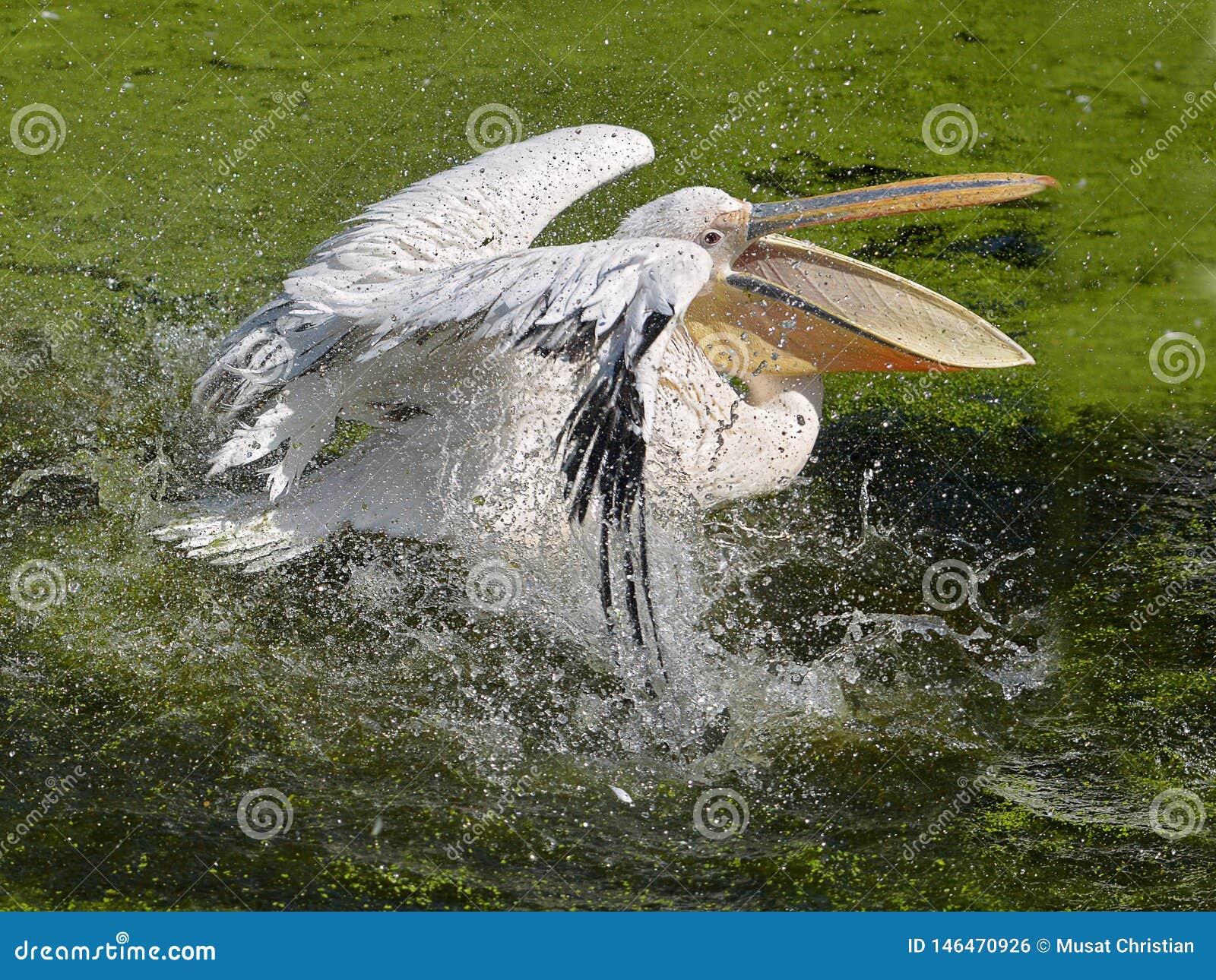 Pel?cano blanco en el agua