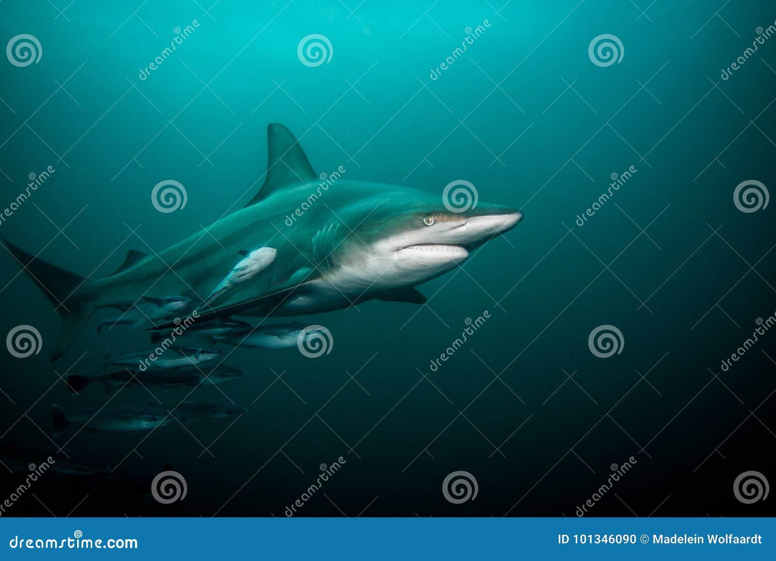 Pelagic Black Tip shark swimming underwater, full length shot.