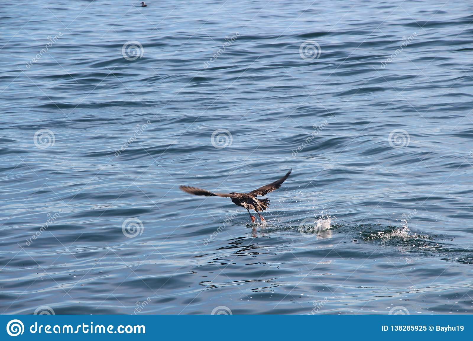 The pelagic cormorant Phalacrocorax pelagicus, also known as Baird`s cormorant, takes off from the water.