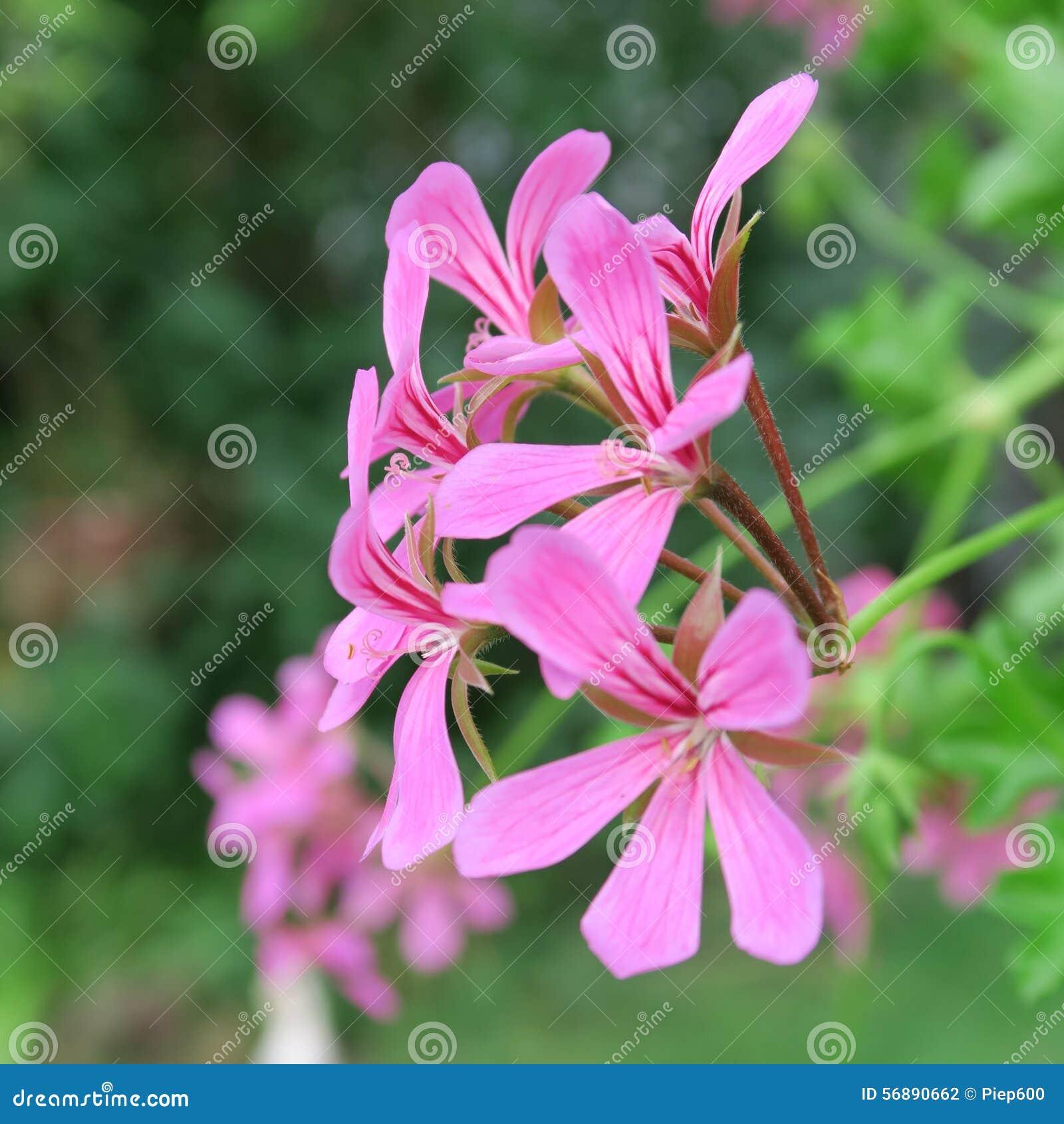 Pelargonien rosa
