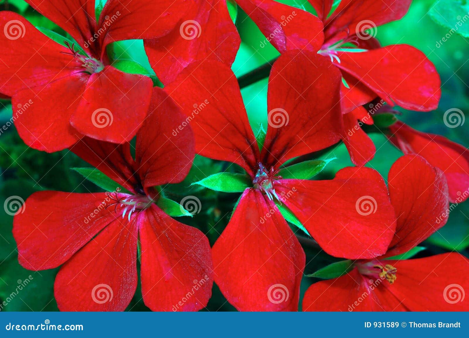Pelargonium Dark Red Blizzard