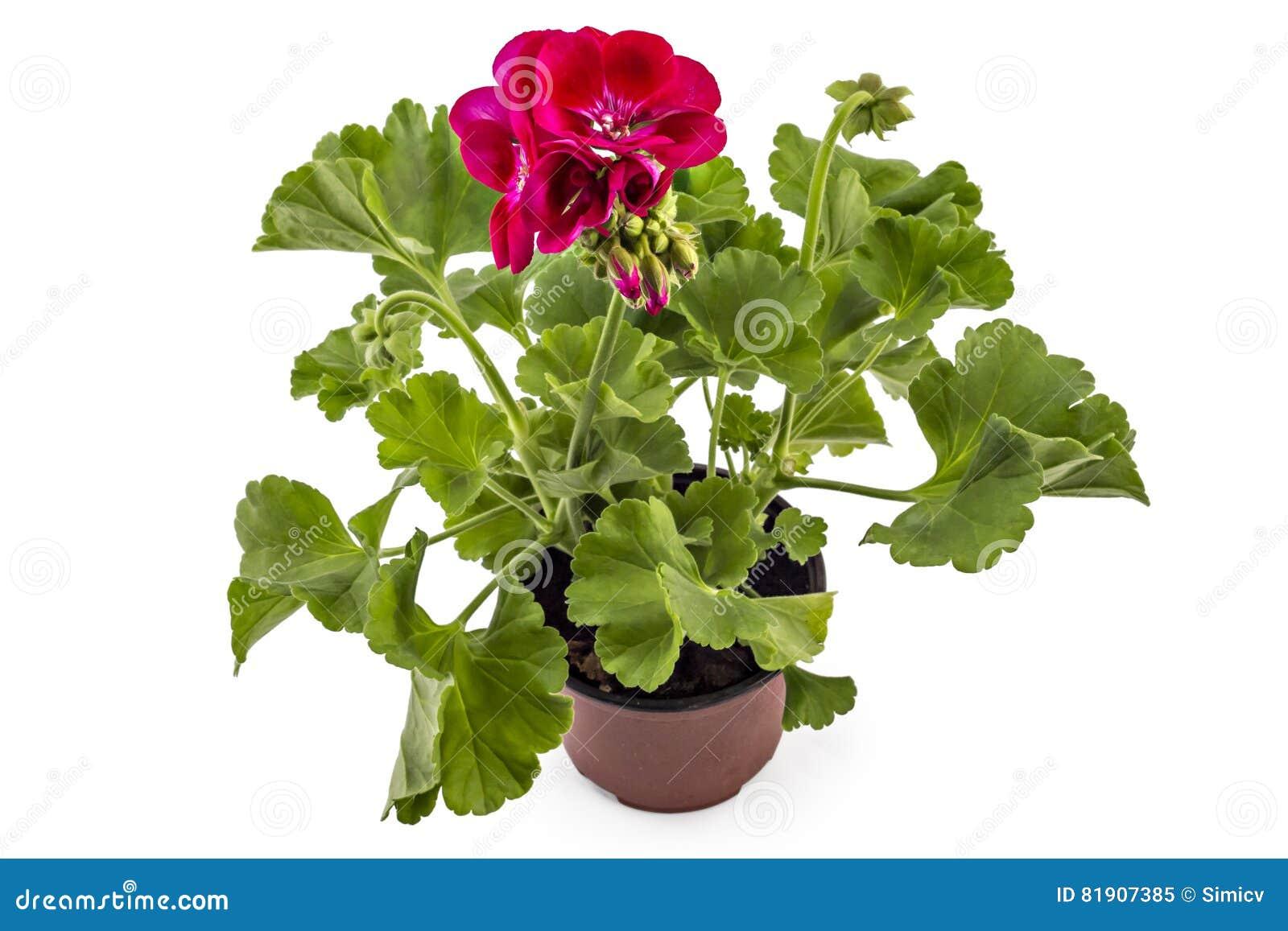 Pelargonium del geranio