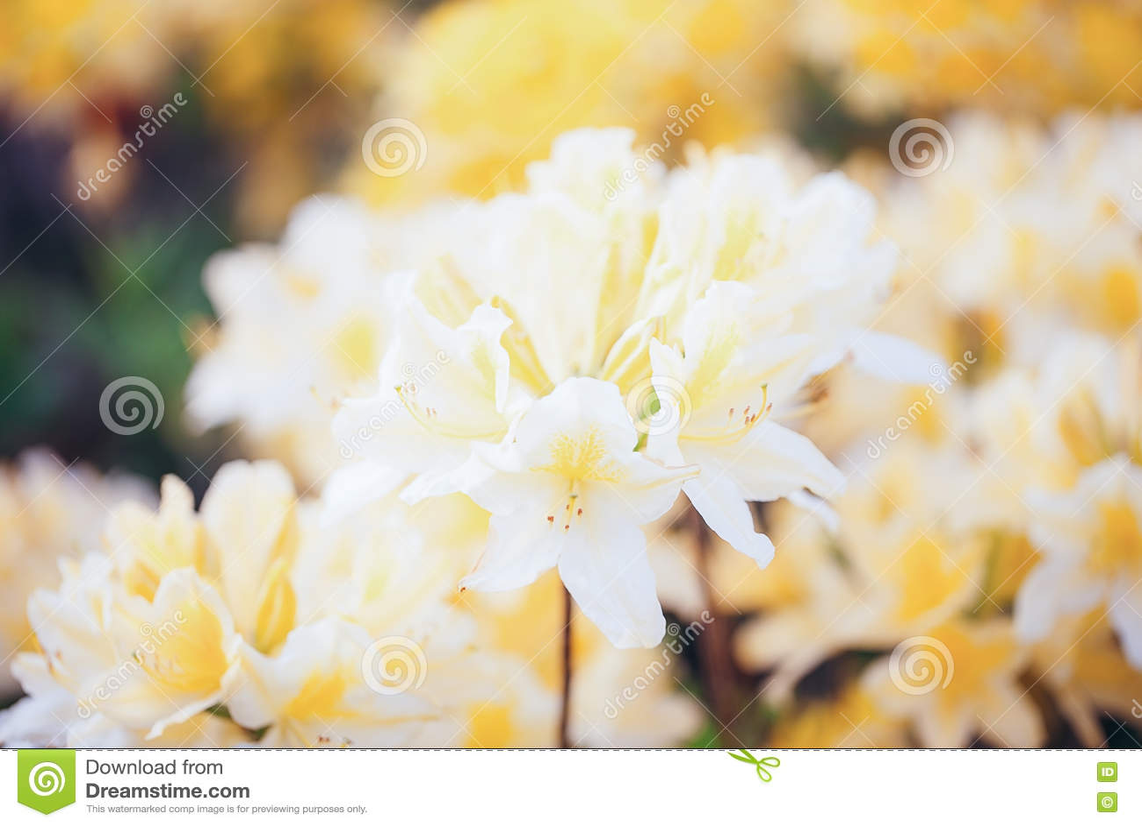 Pelargonium Geranium Group Bright Beautiful Cerise Yellow Flower