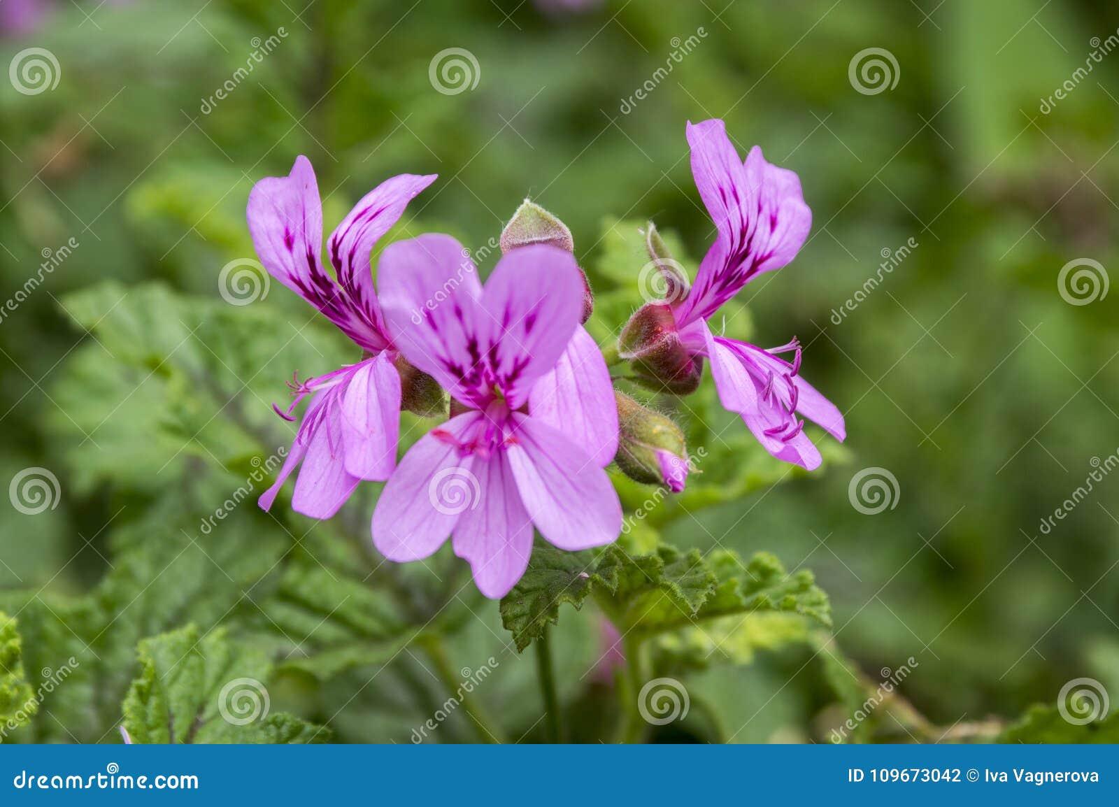 Pelargonium graveolens in bloom, ornamental flowers