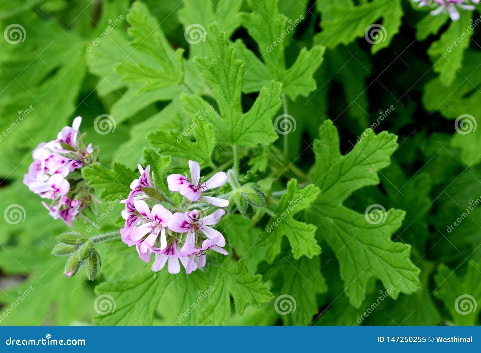 Pelargonium Graveolens Rose Geranium Sweet Scented Geranium