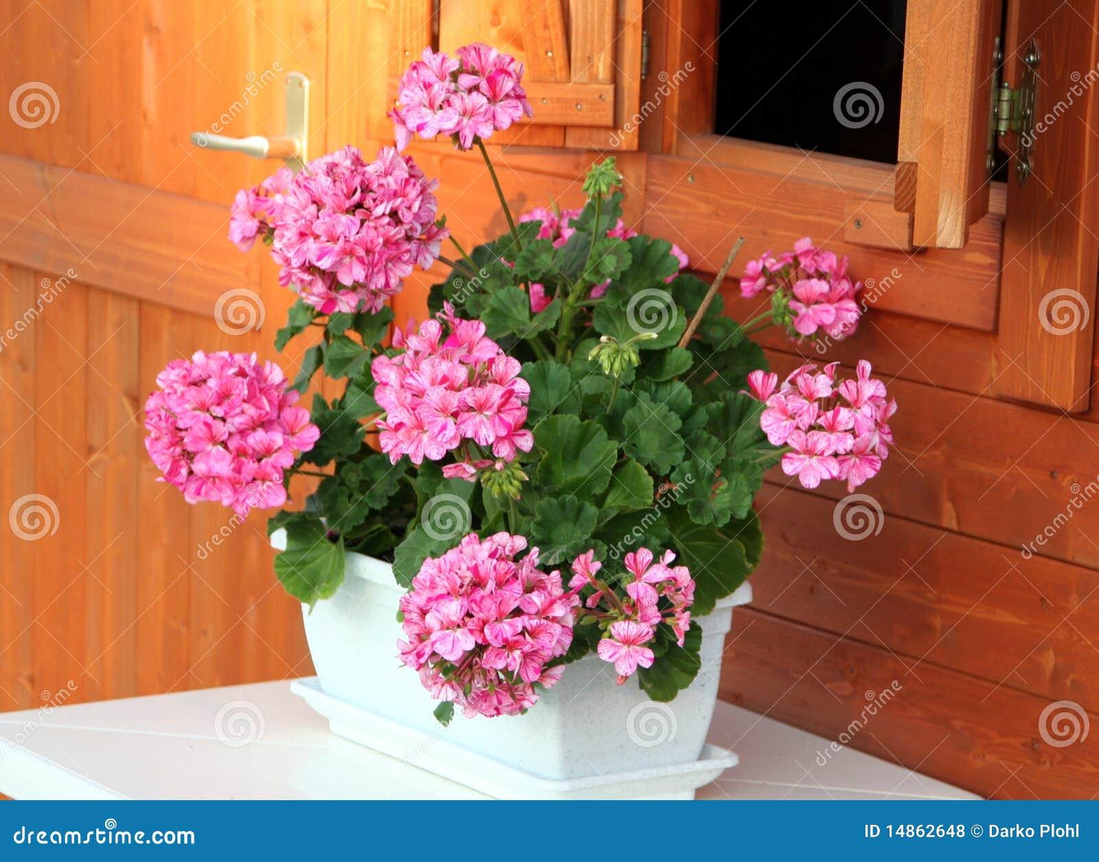 Pelargonium in the white pot