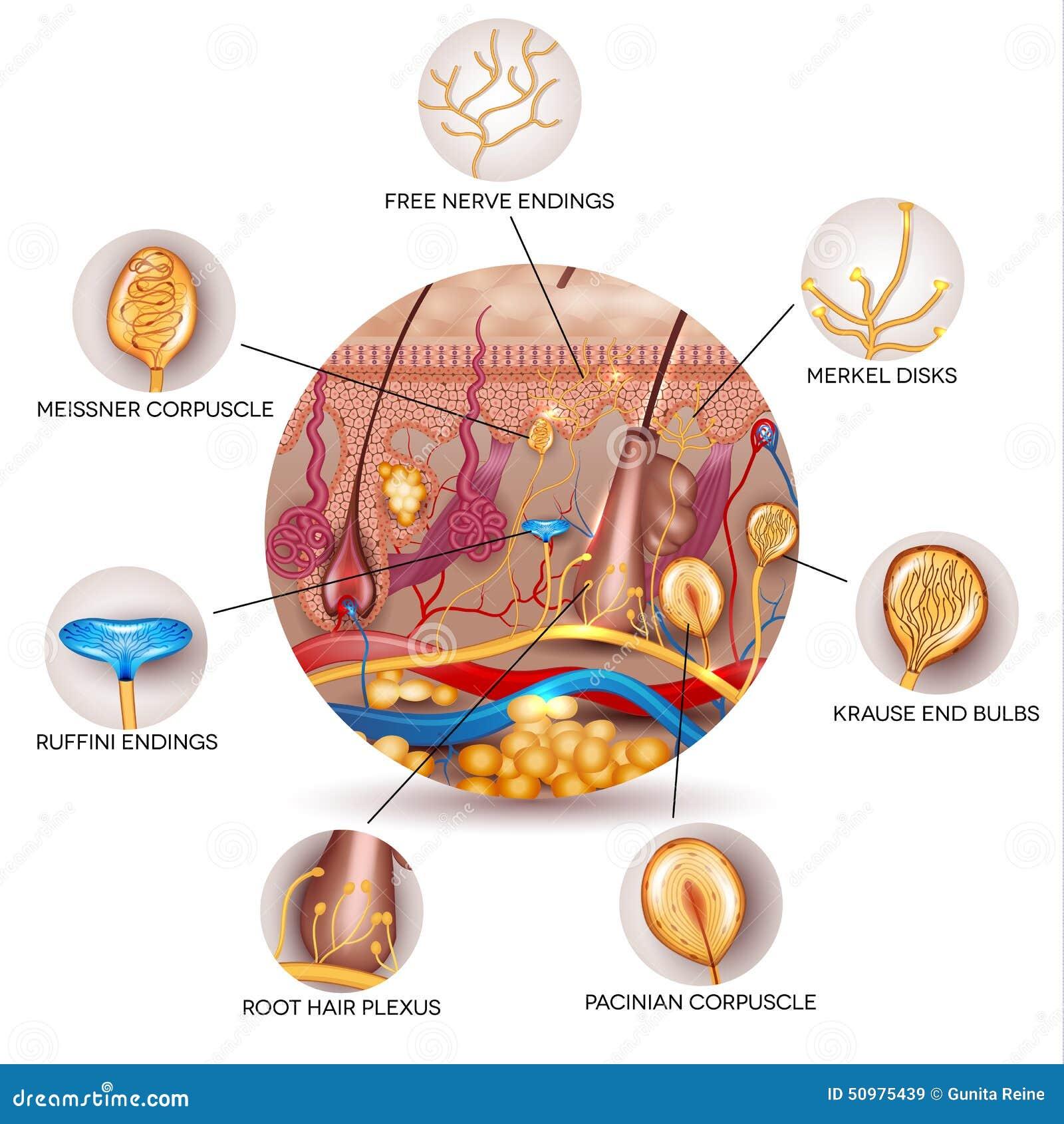 Asombroso Diagrama De La Anatomía De La Piel Patrón - Imágenes de ...