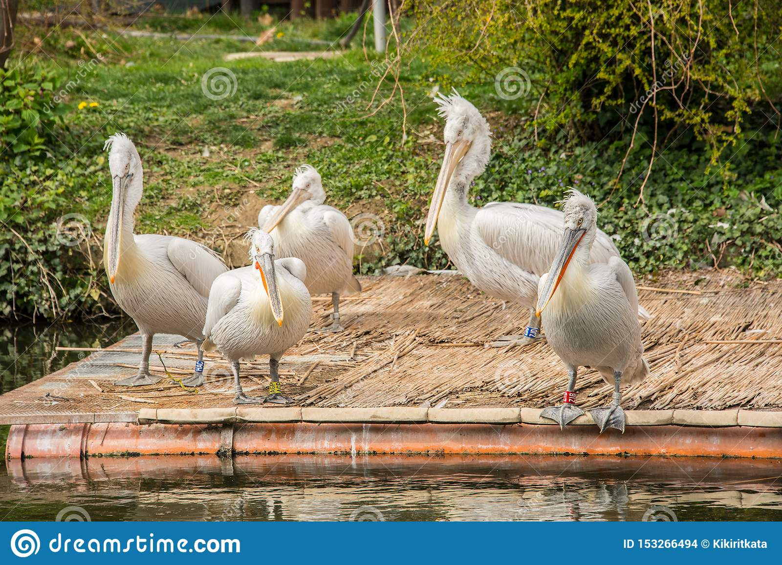 Pelecanus onocrotalus / Great white pelican in a group on a platform on a lake