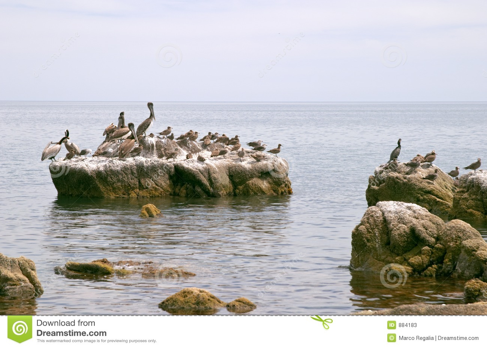 Pelecanus ptaka onocrotalus pelican morskiego