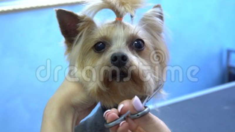 Peli Di Cane Di Taglio Di Capelli Dell\u0027Yorkshire Terrier Nel Salone  Dell\u0027animale Domestico Stock Footage , Video di occupazione, forbici  97456650