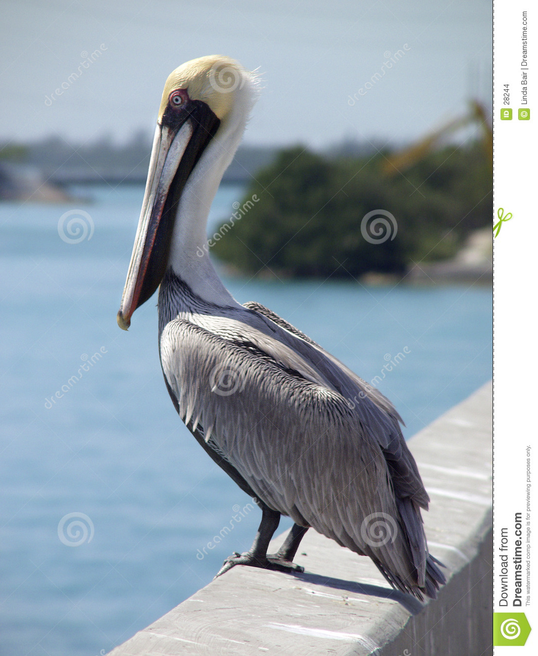 Pelican on Bridge