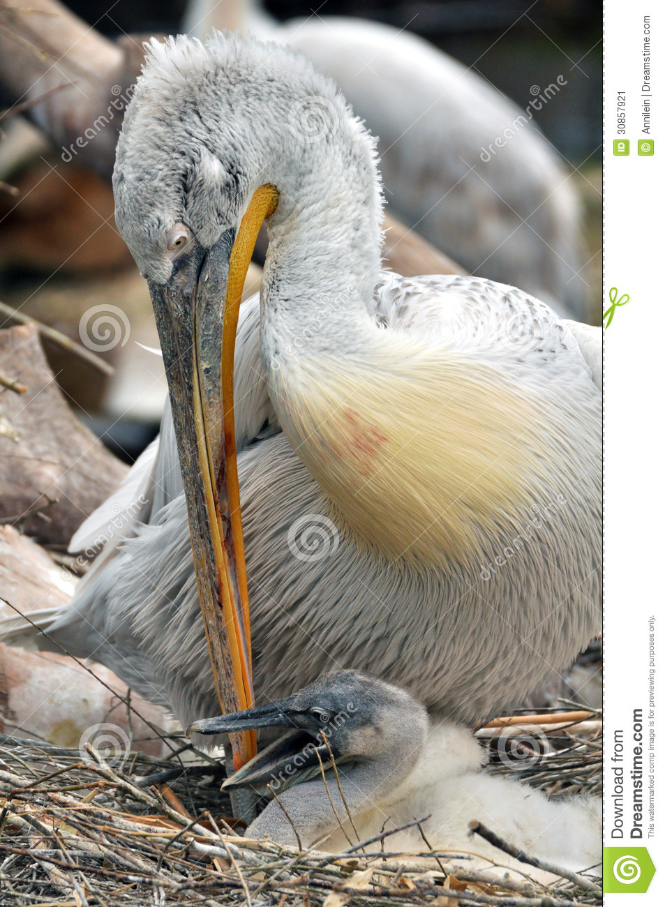 Pelican with a chick