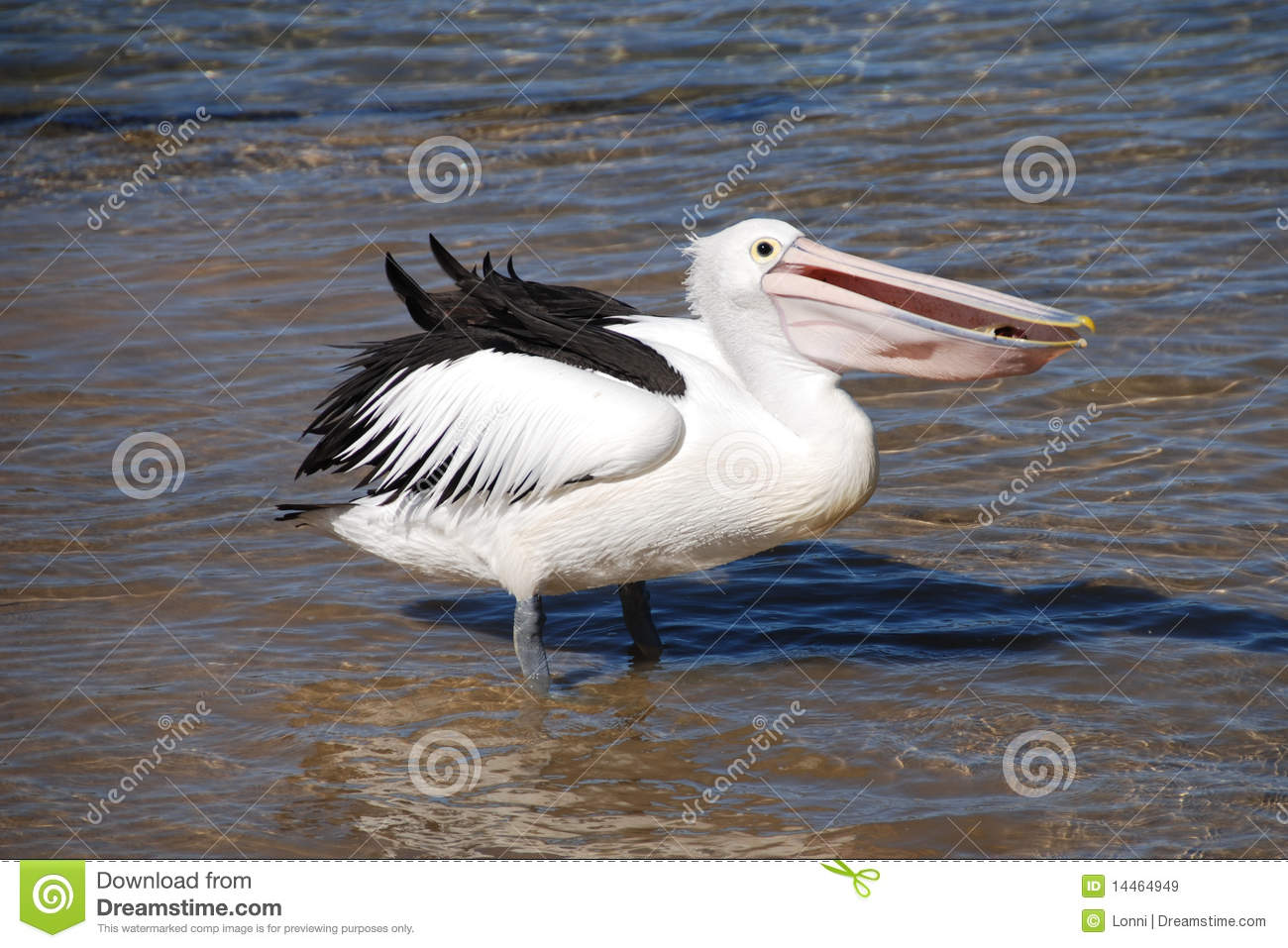 Pelican eating fish royalty free stock images image for Dreaming of eating fish