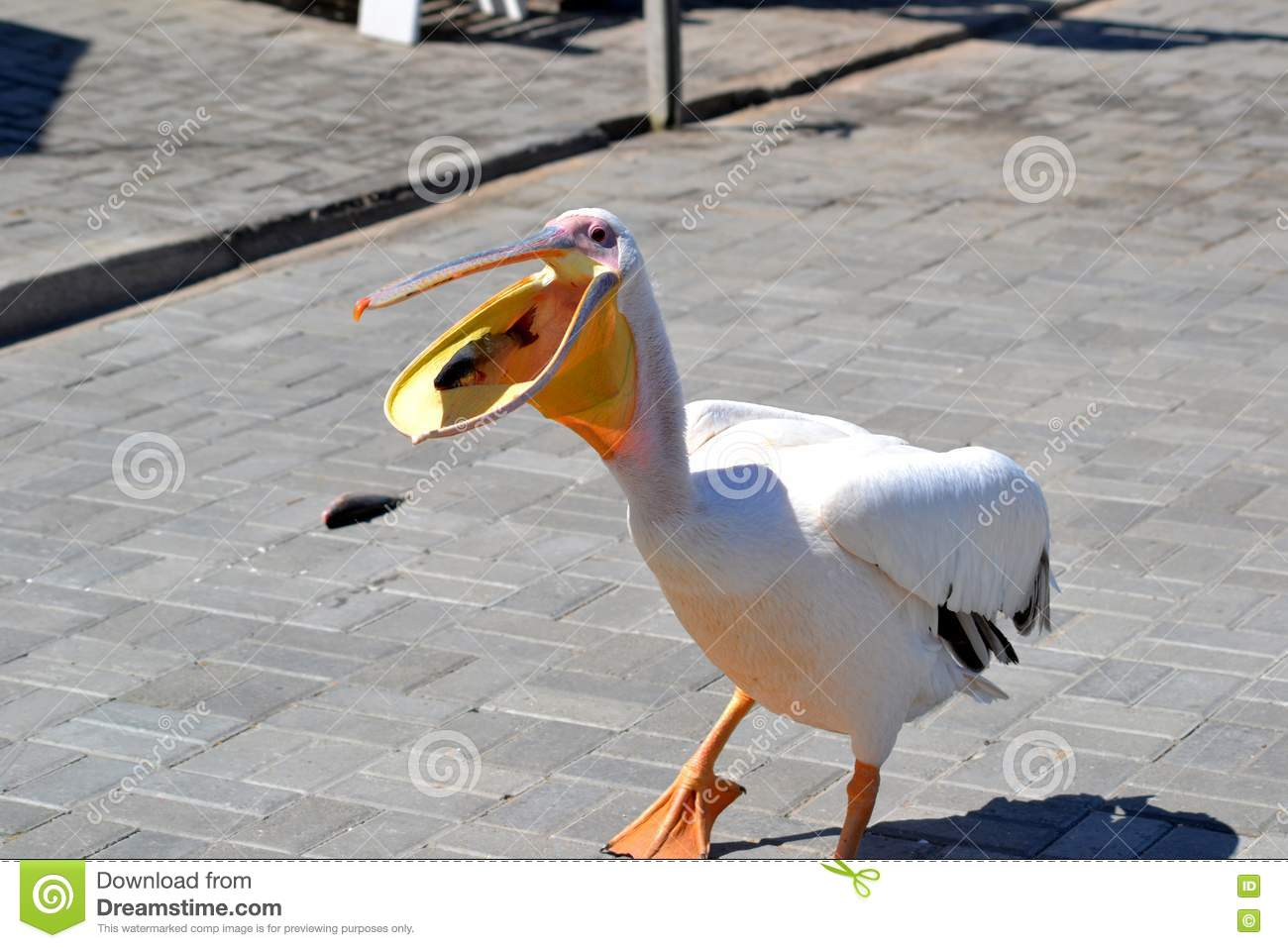 Pelican eating fish royalty free stock photo image 17693365 for Dreaming of eating fish
