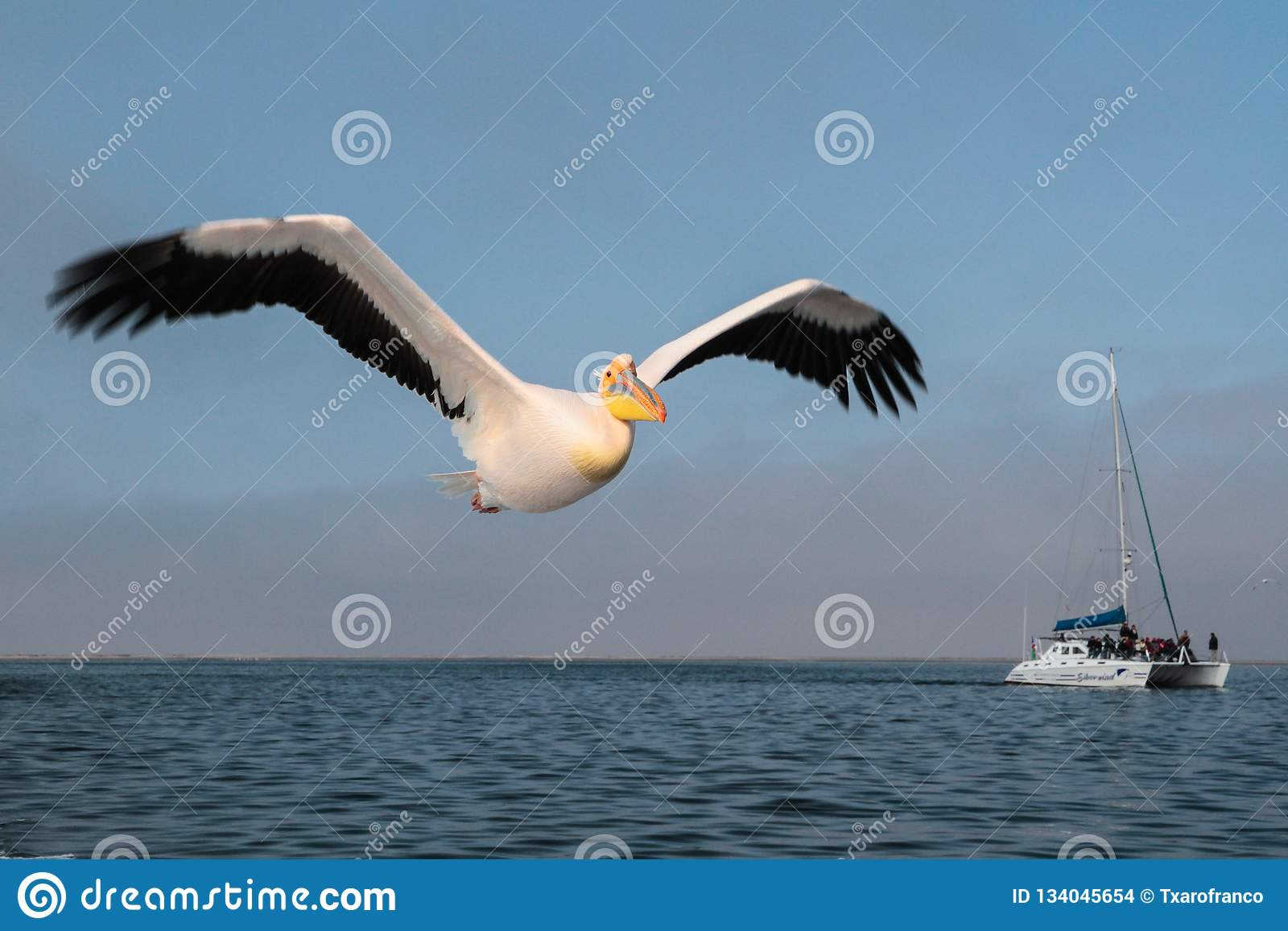 The pelican is flying over the sea in Walvis Bay