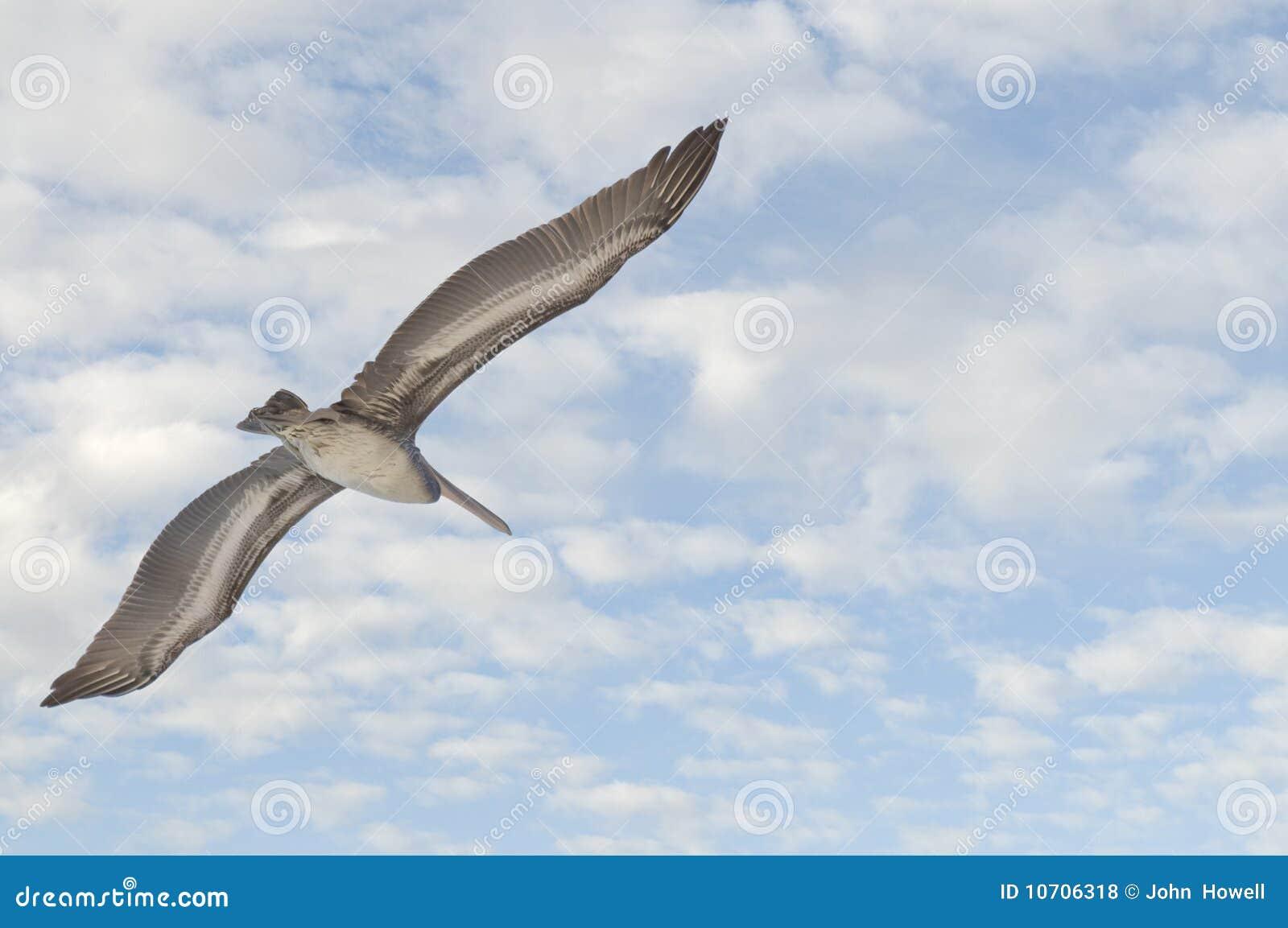 Pelican flying in sky