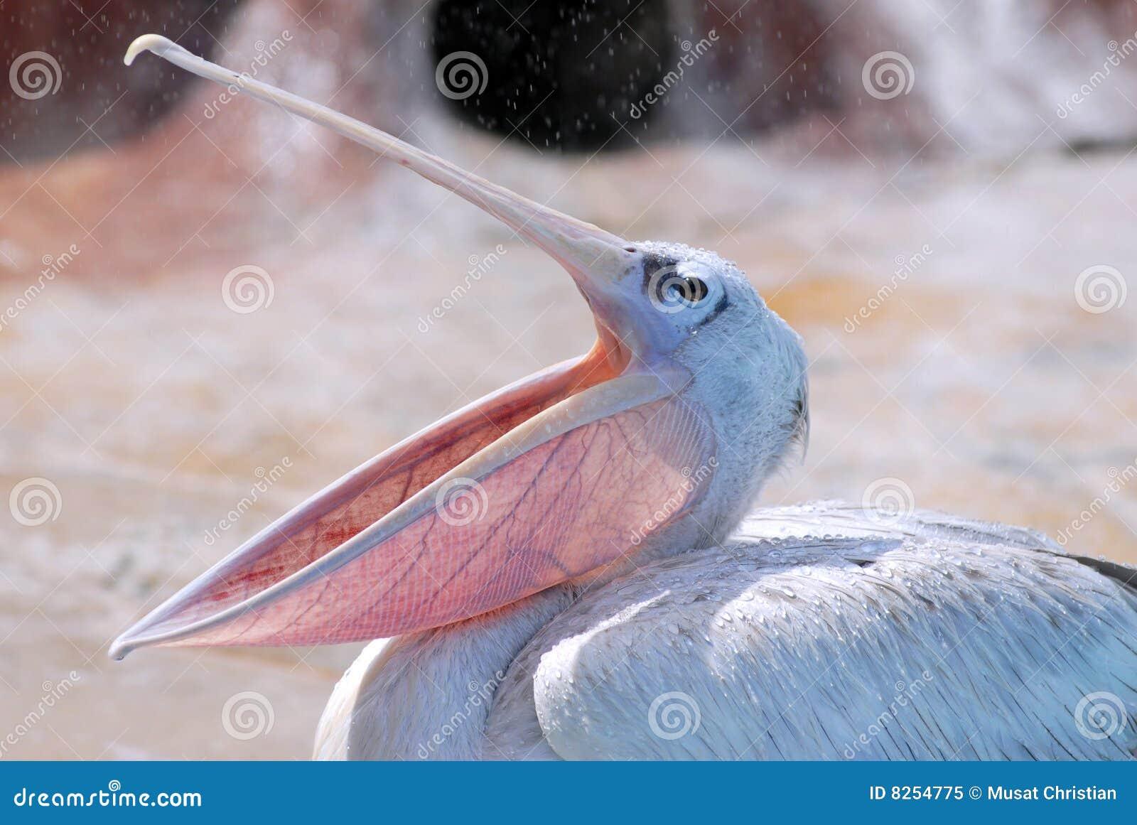 Pelican with the open beak