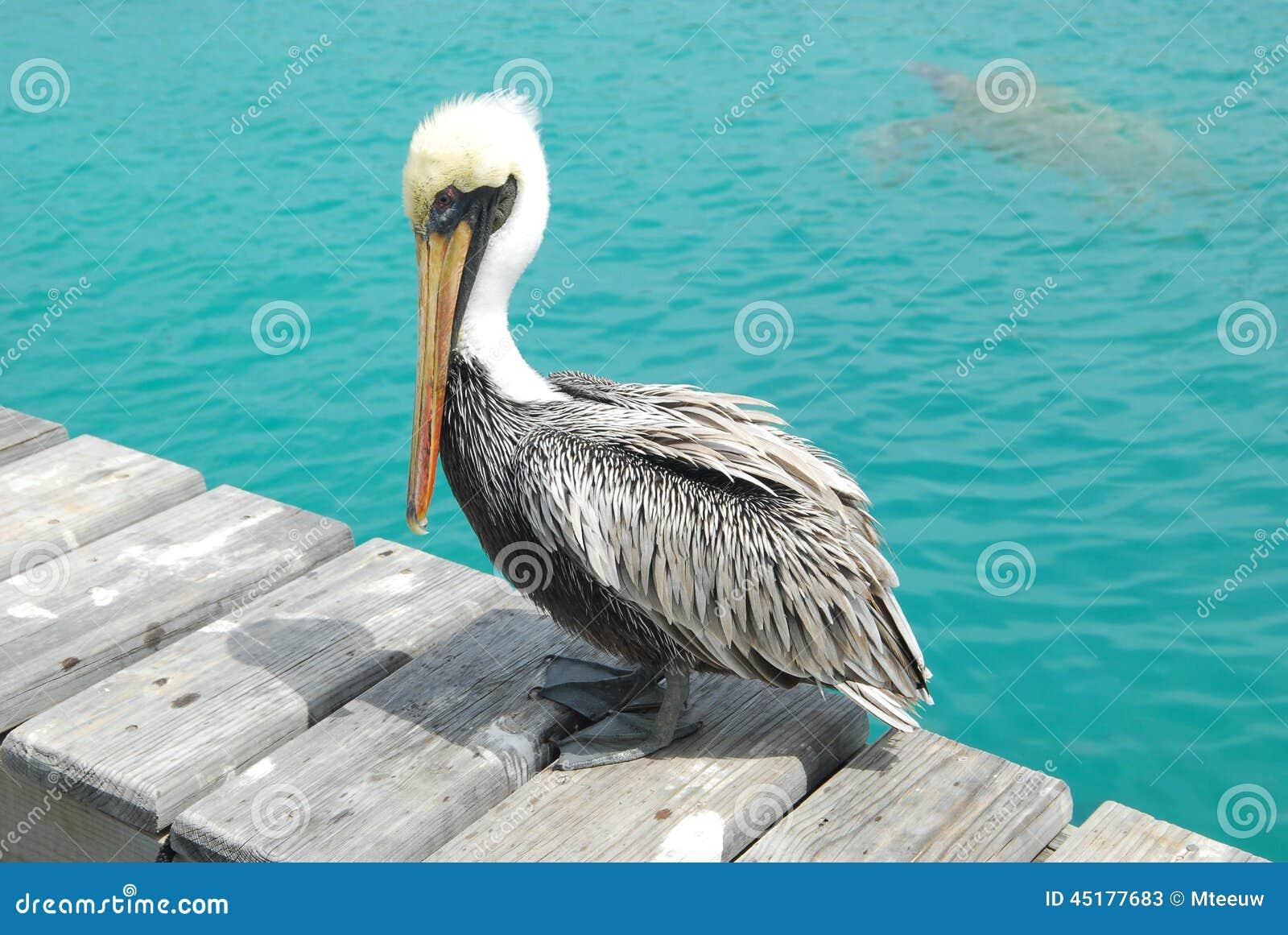 Pelican Royalty-Free Stock Image
