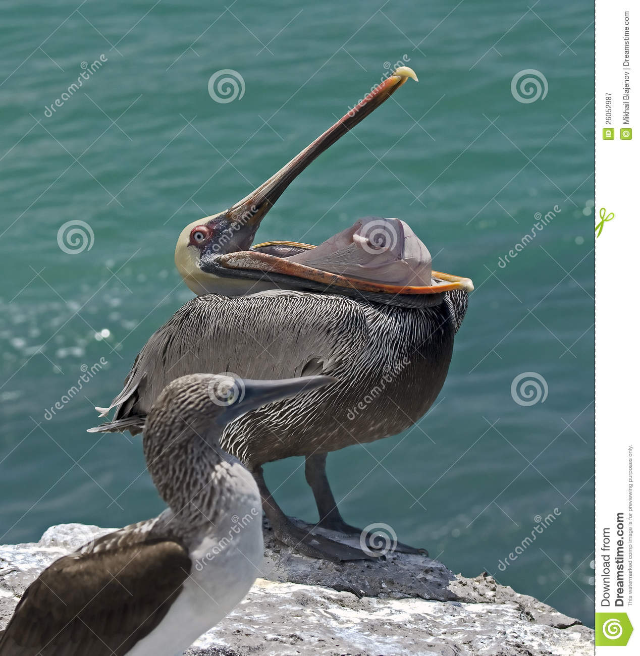 Pelican on the rock 3 stock image. Image of galapagos ...