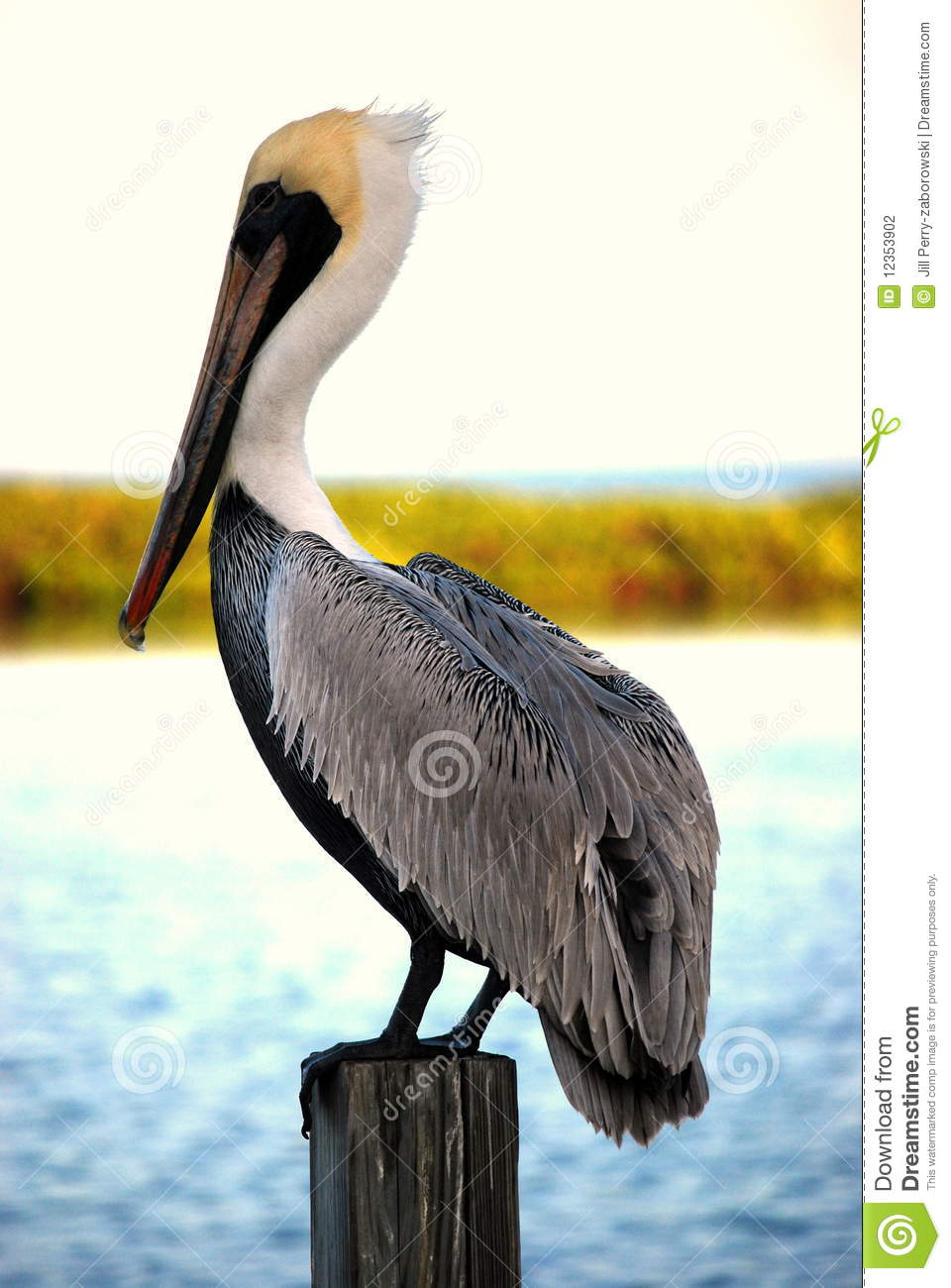 Pelican Standing On A Piling Stock Photography Image 12353902