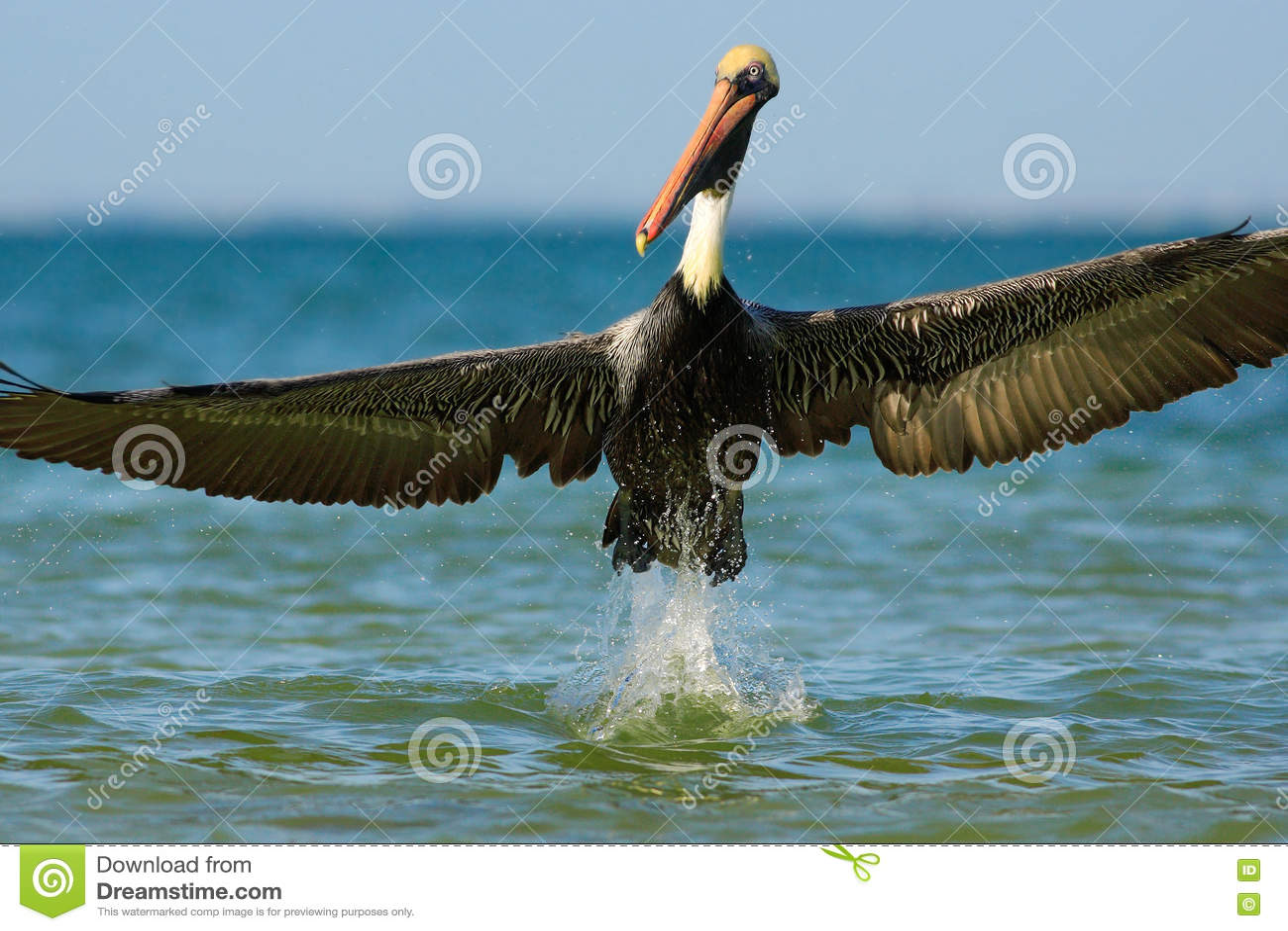 Pelican starting in the blue water. Brown Pelican splashing in water. bird in the dark water, nature habitat, Florida, USA.