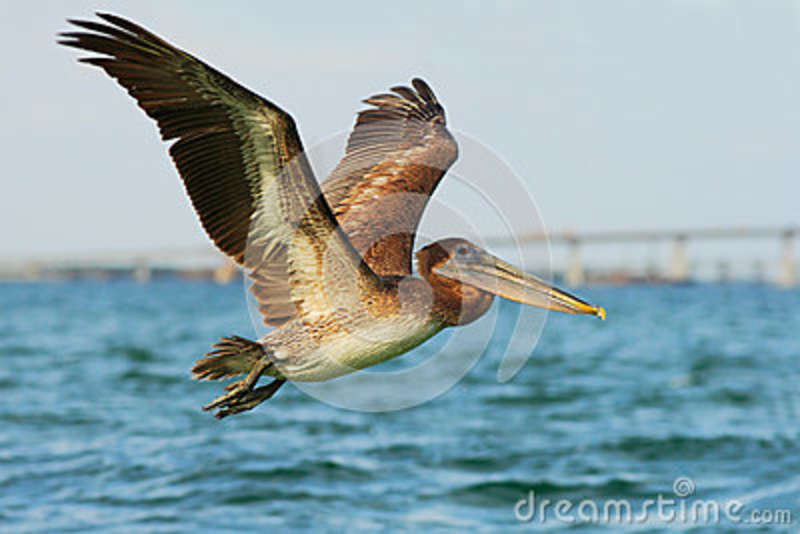 Pelican starting in the blue water. Brown Pelican splashing in water. bird in the dark water, nature habitat, Florida, USA.