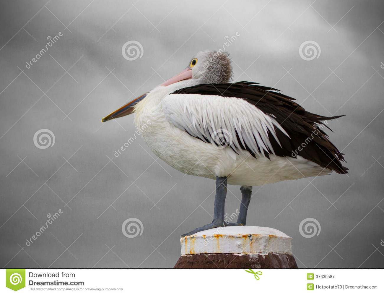 Pelican and Storm Clouds