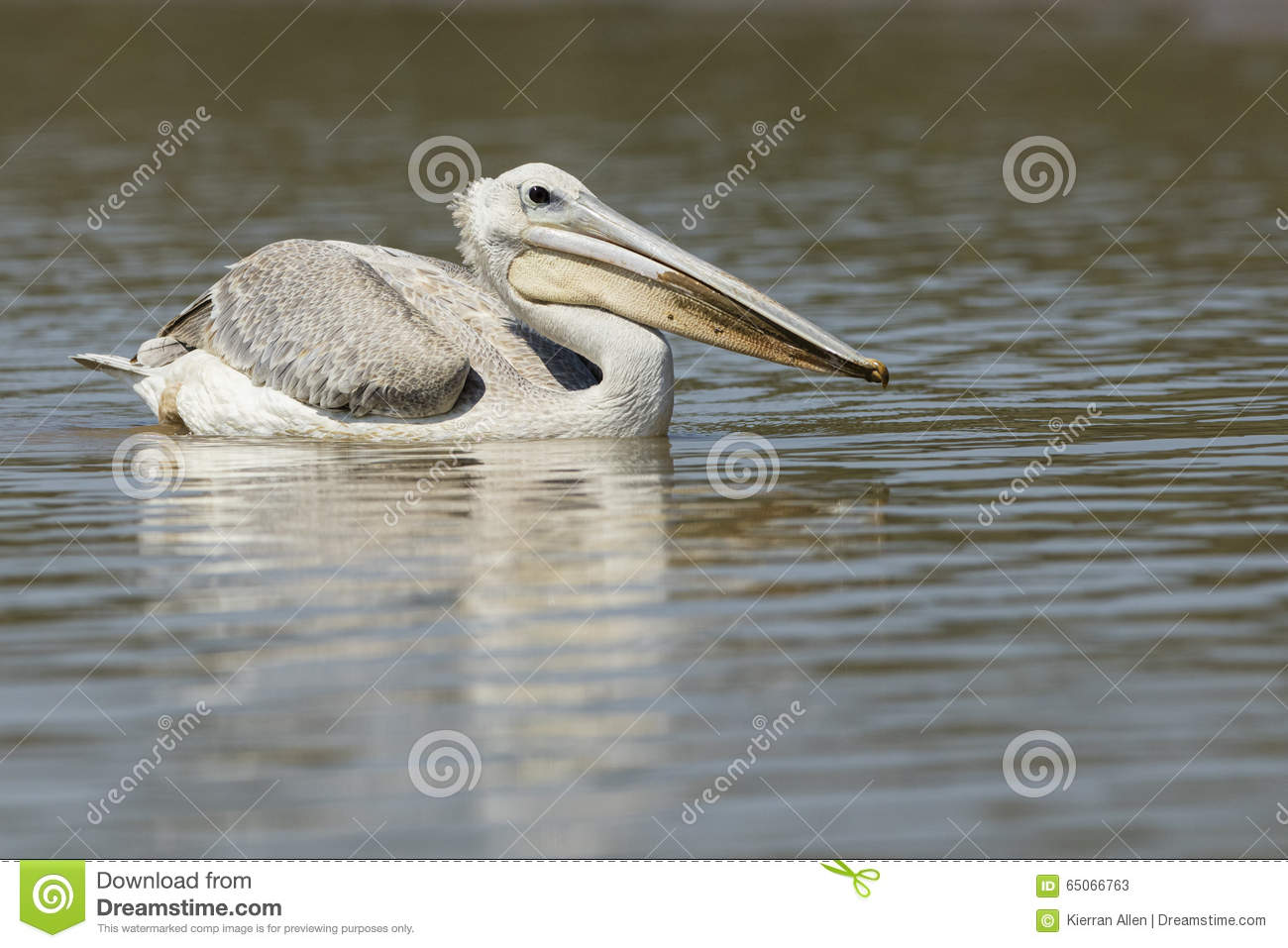 Pelican on water South Africa
