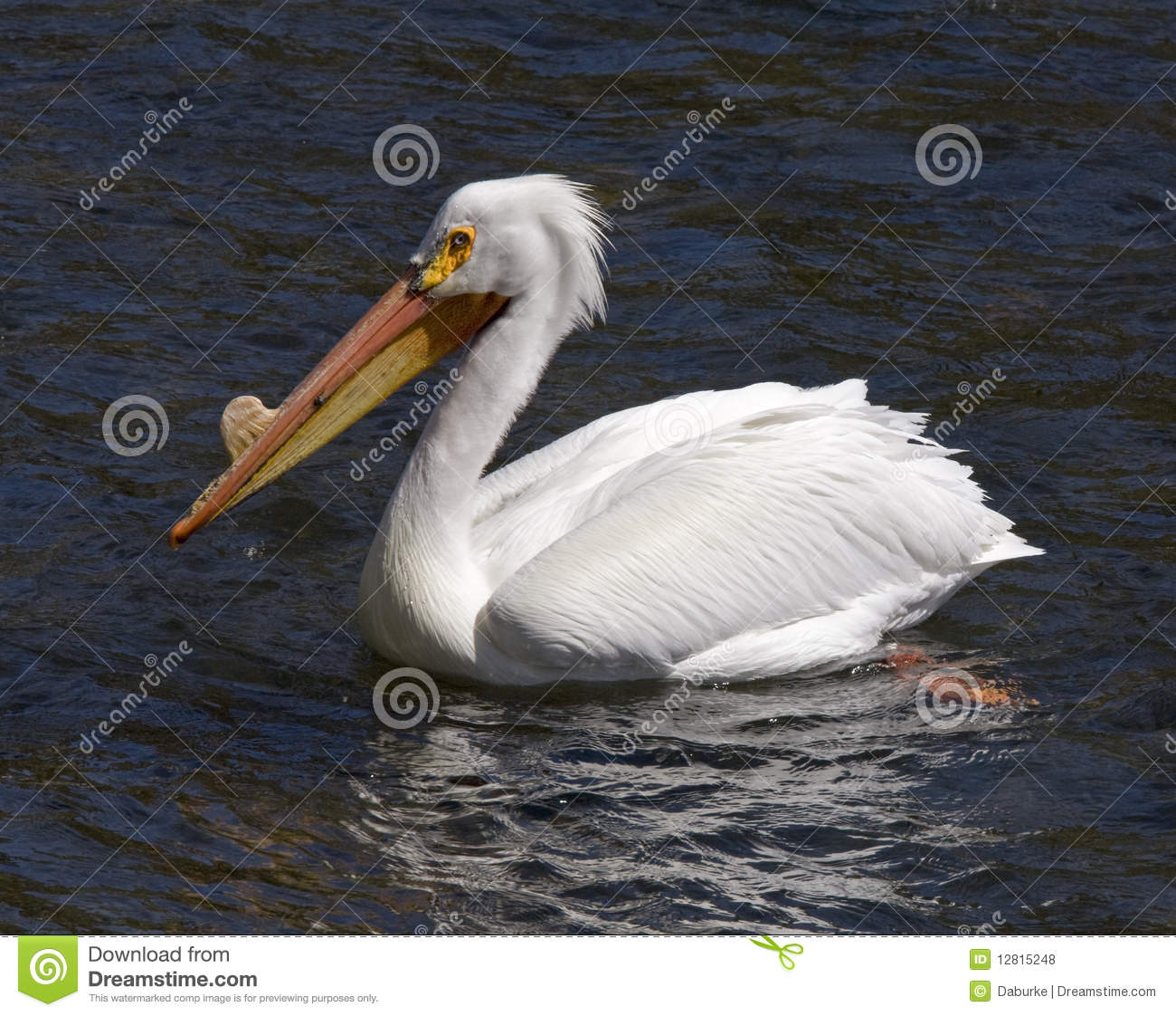 Pelican on Yellowstone River