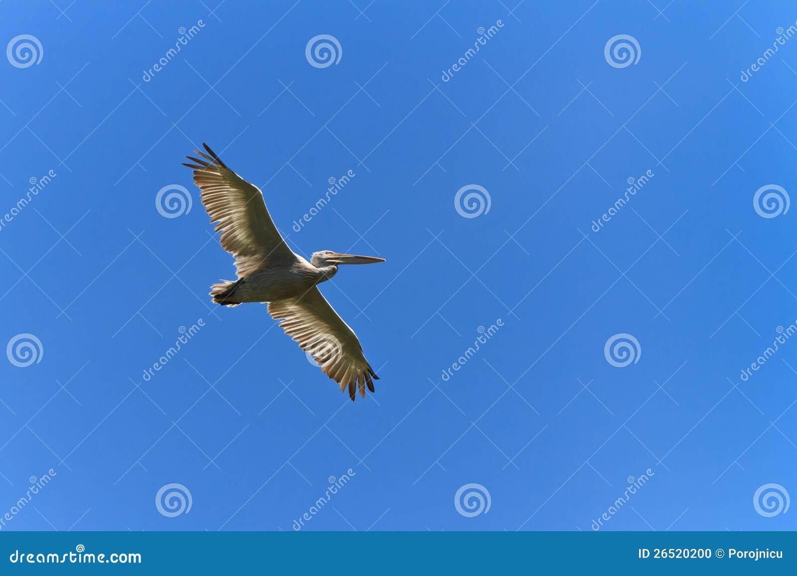 Pelicano Dalmatian (crispus do Pelecanus)