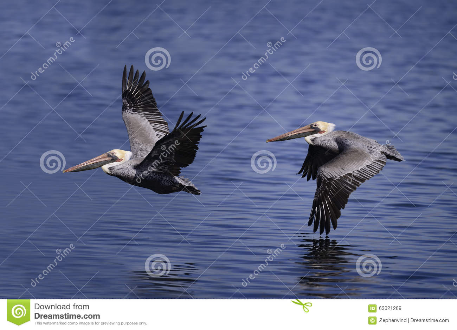 Pelicano de Brown