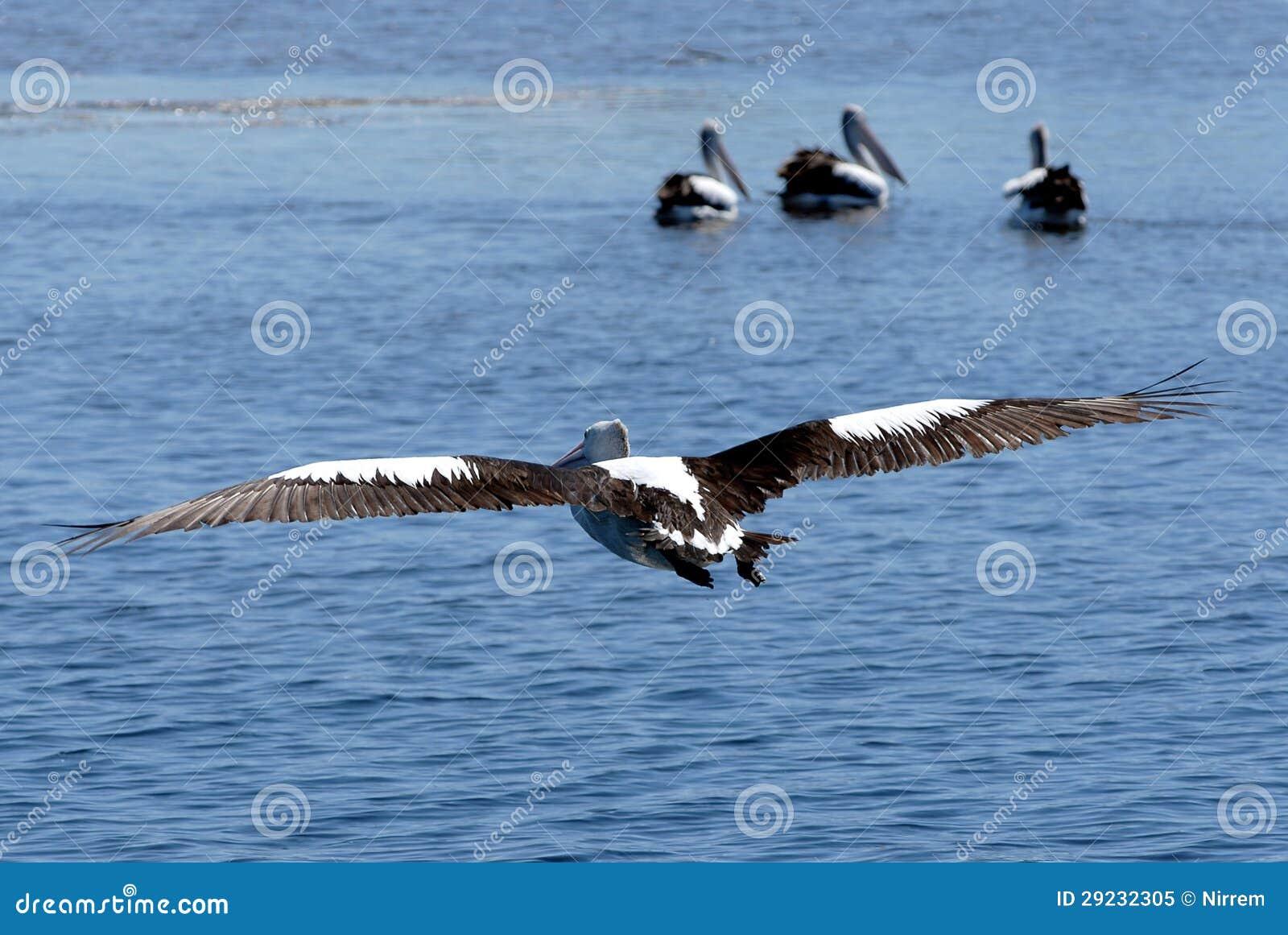 Download Pelicano em vôo imagem de stock. Imagem de terra, acoplamento - 29232305