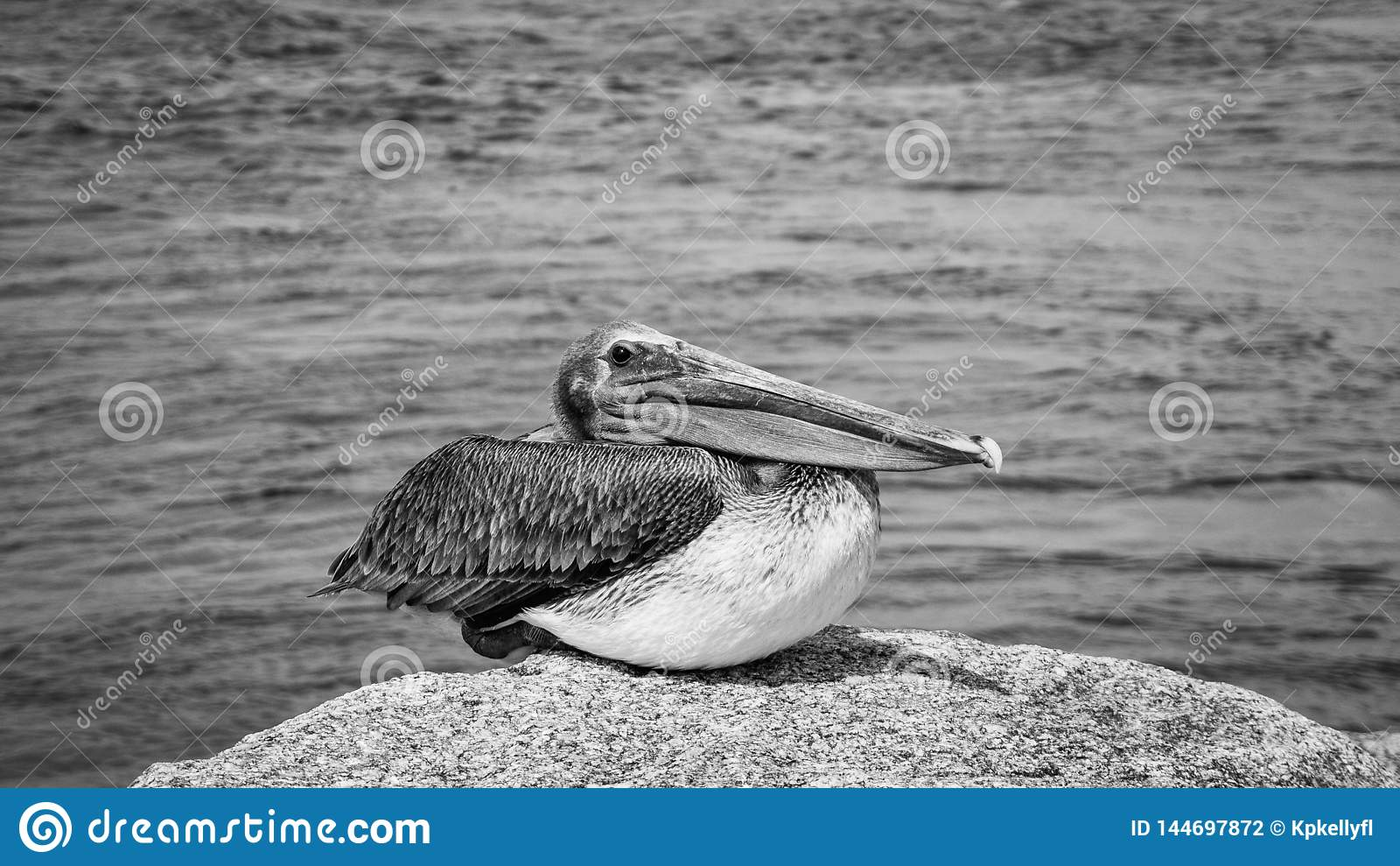 Pelicano Jupiter Inlet Atlantic Ocean Florida