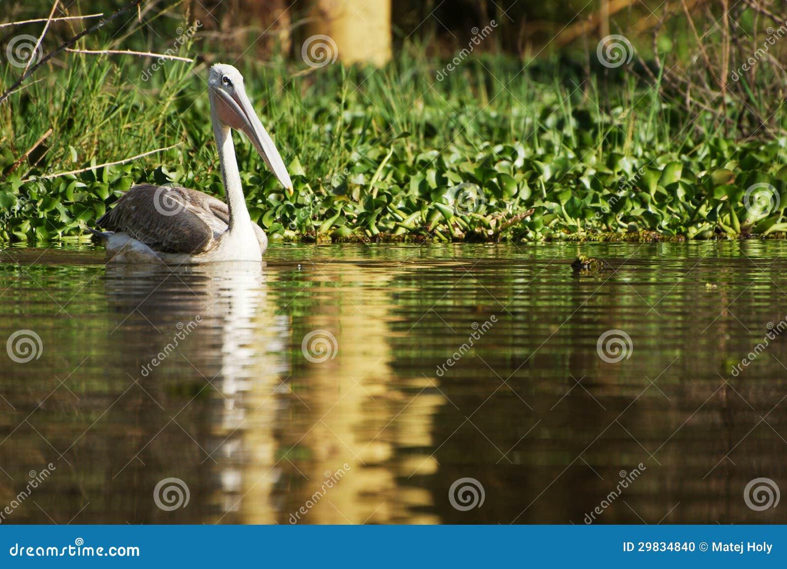 Pelicano na água